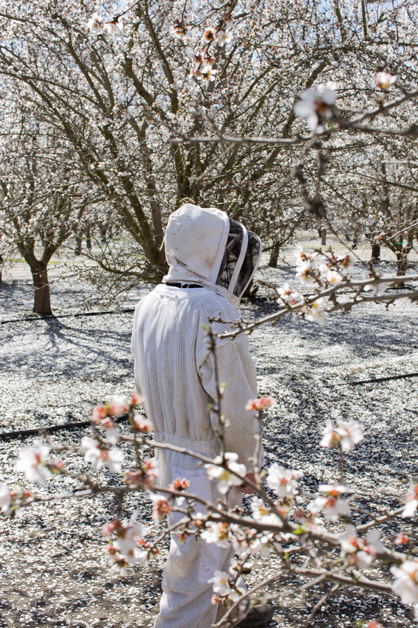 beekeeper in almond orchard.png