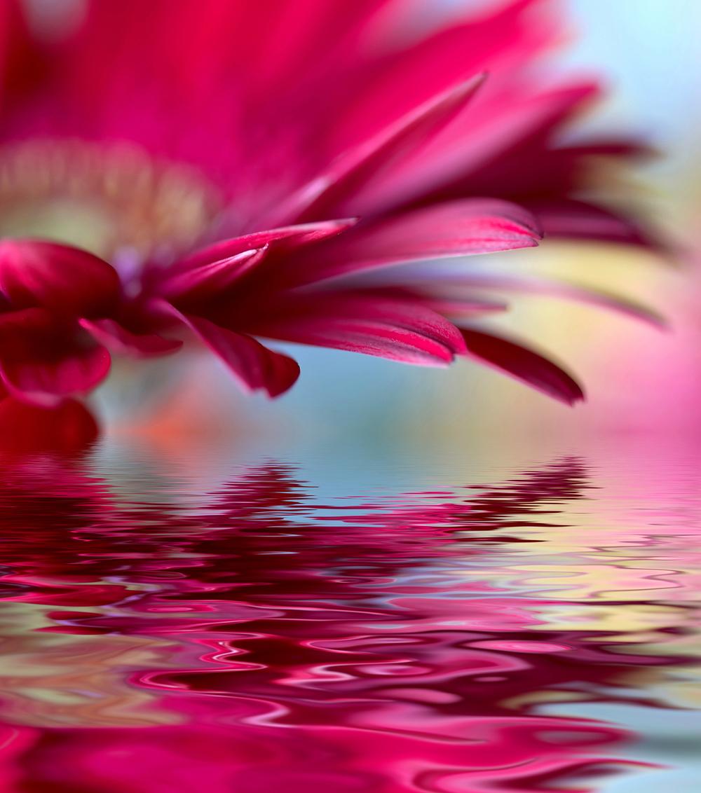 bigstock-Closeup-of-pink-daisy-gerbera--15335270.jpg
