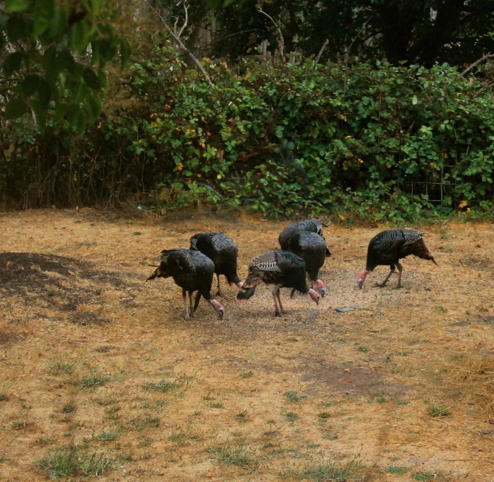 Wild turkey party!