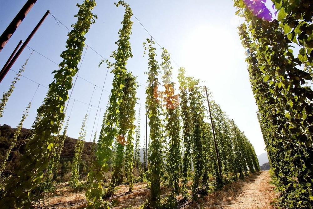 HOP TO IT    Toro Creek Brewing Company grows 13 varieties of organic hops alongside barley on its hiddenaway farm, located midway between Morro Bay and Atascadero.    PHOTO BY DUMMIT PHOTOGRAPHY