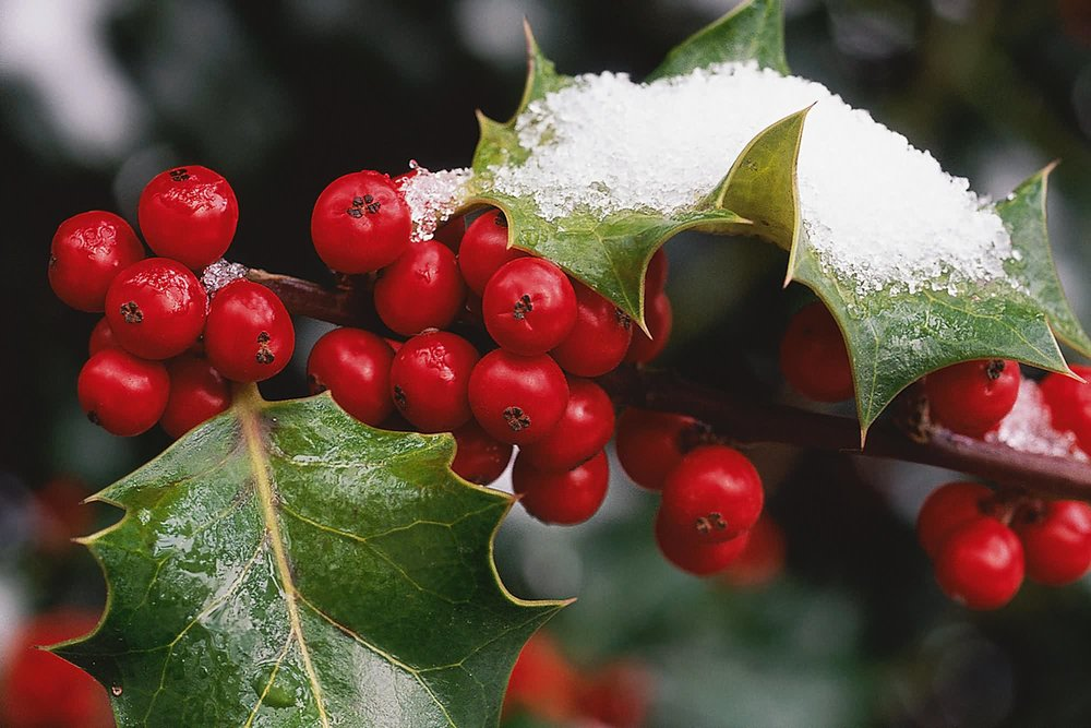3d-abstract_other_holly-berries_55540.jpg