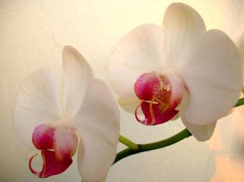 white-orchid-lovely-flower.jpg