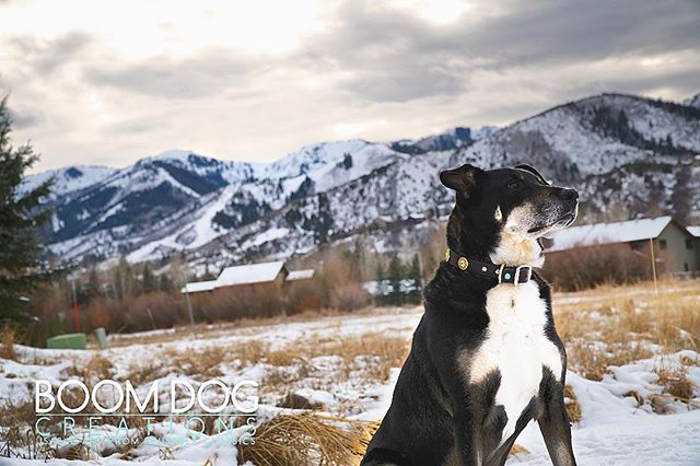 Who else's dog is ready for some snow? ❄️☃️Franklin is in his Shot Shell Collar #boomdogoftheday #boomdogcreations #boomdogcollars #instadog #dogsofinstagram