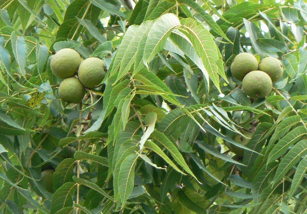 black walnuts.jpg