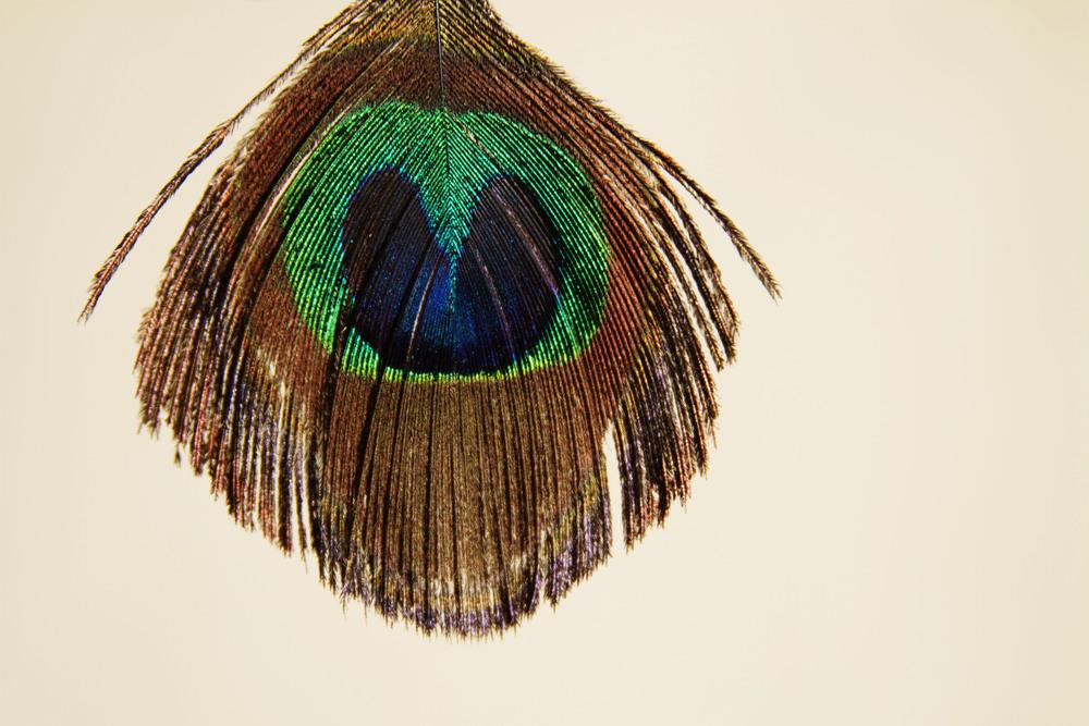 11 peacock.jpg
