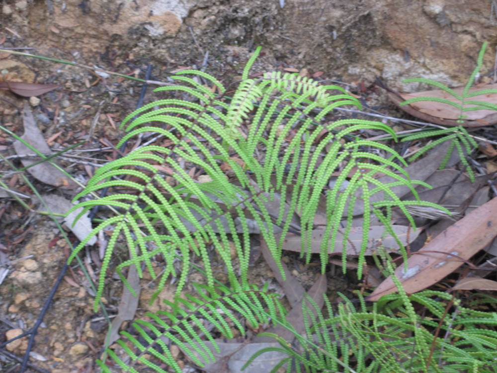 Some kind ofdainty fern growing on the ledge next to the trail where it gets moist in the rains.