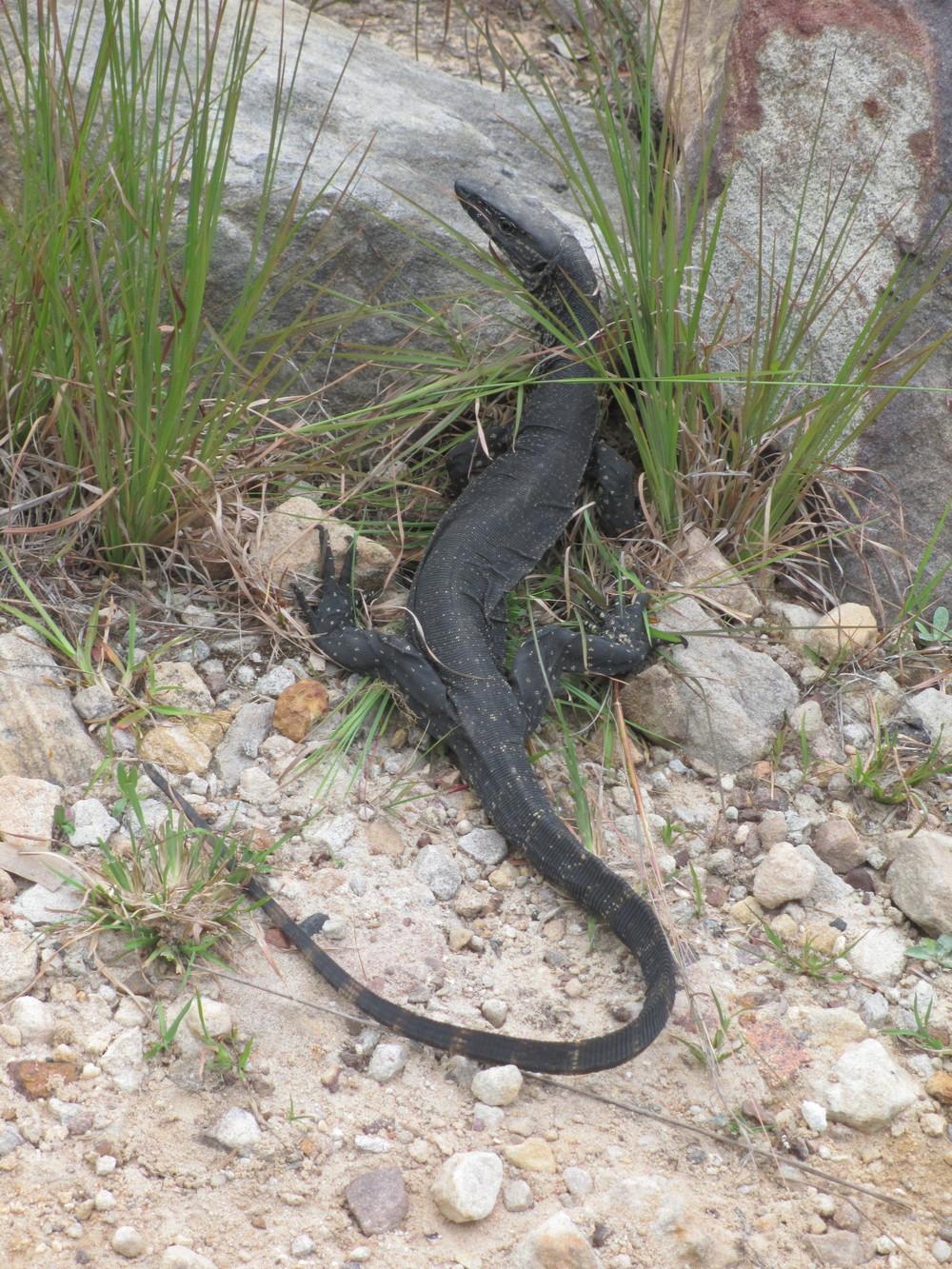 Cool black lizard, about 2 feet long.