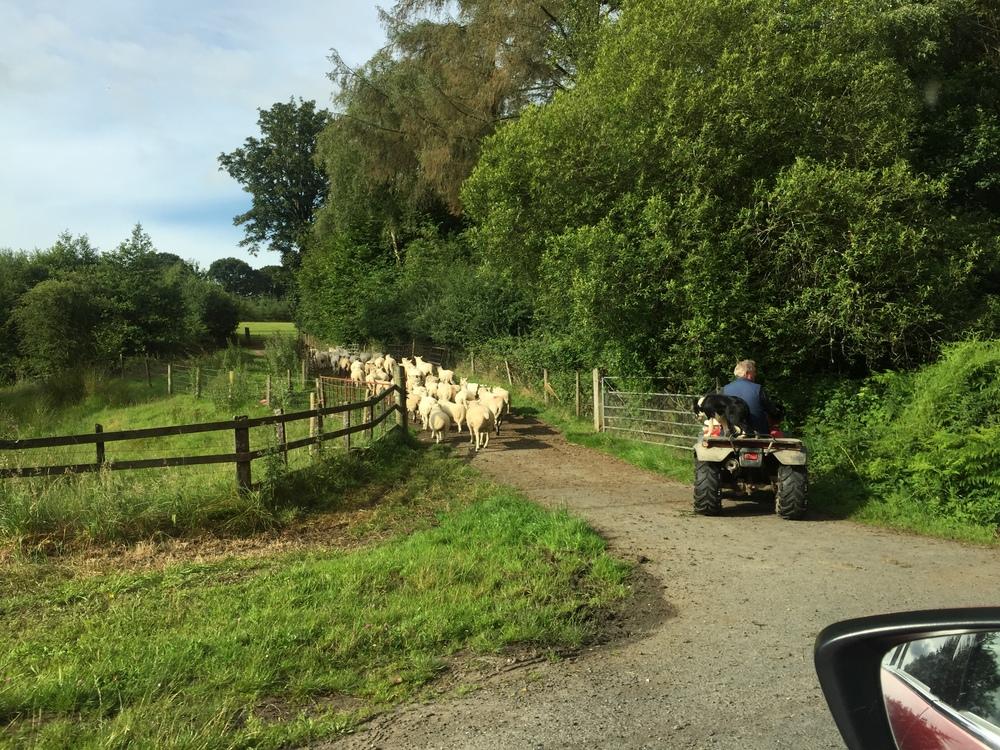 Your standard Welsh traffic jam.