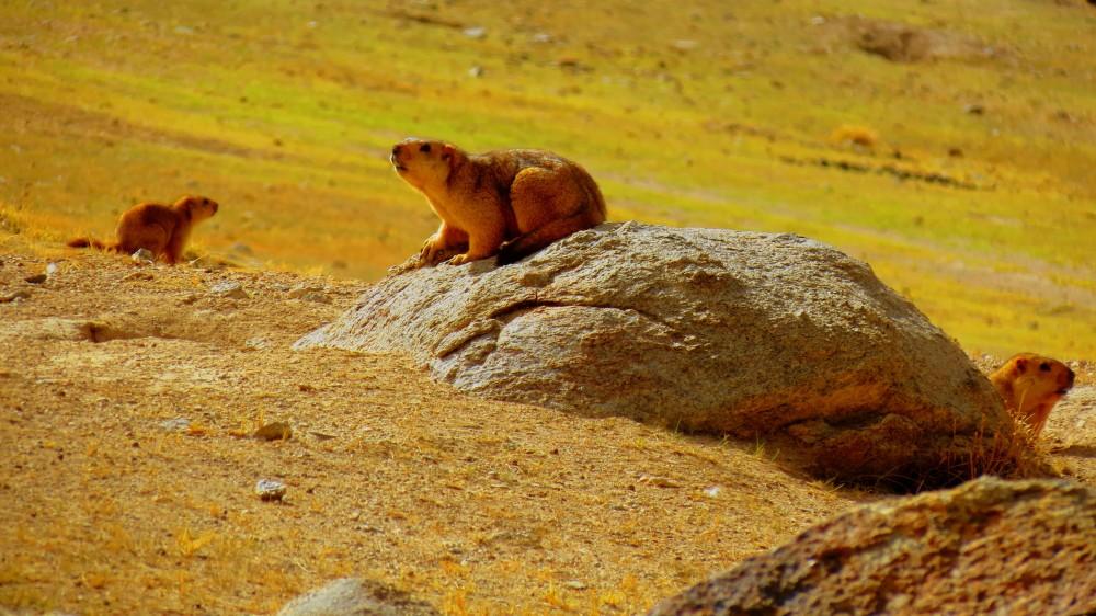 Himalayan Marmots # Himalayan Outfitter