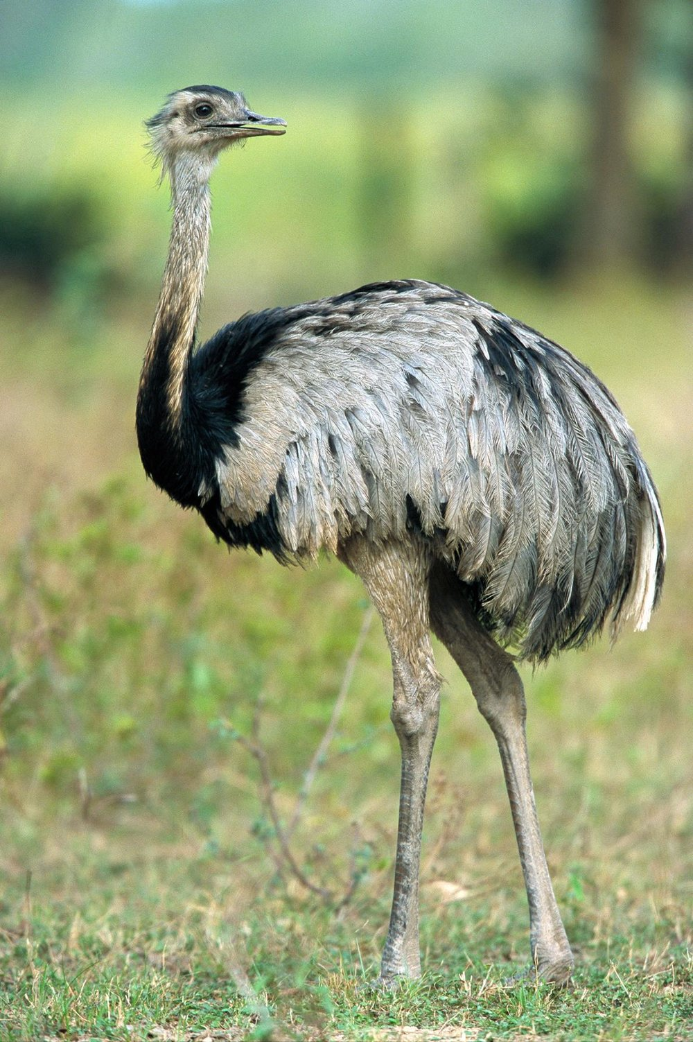 A National Geographic picture Of a Rhea