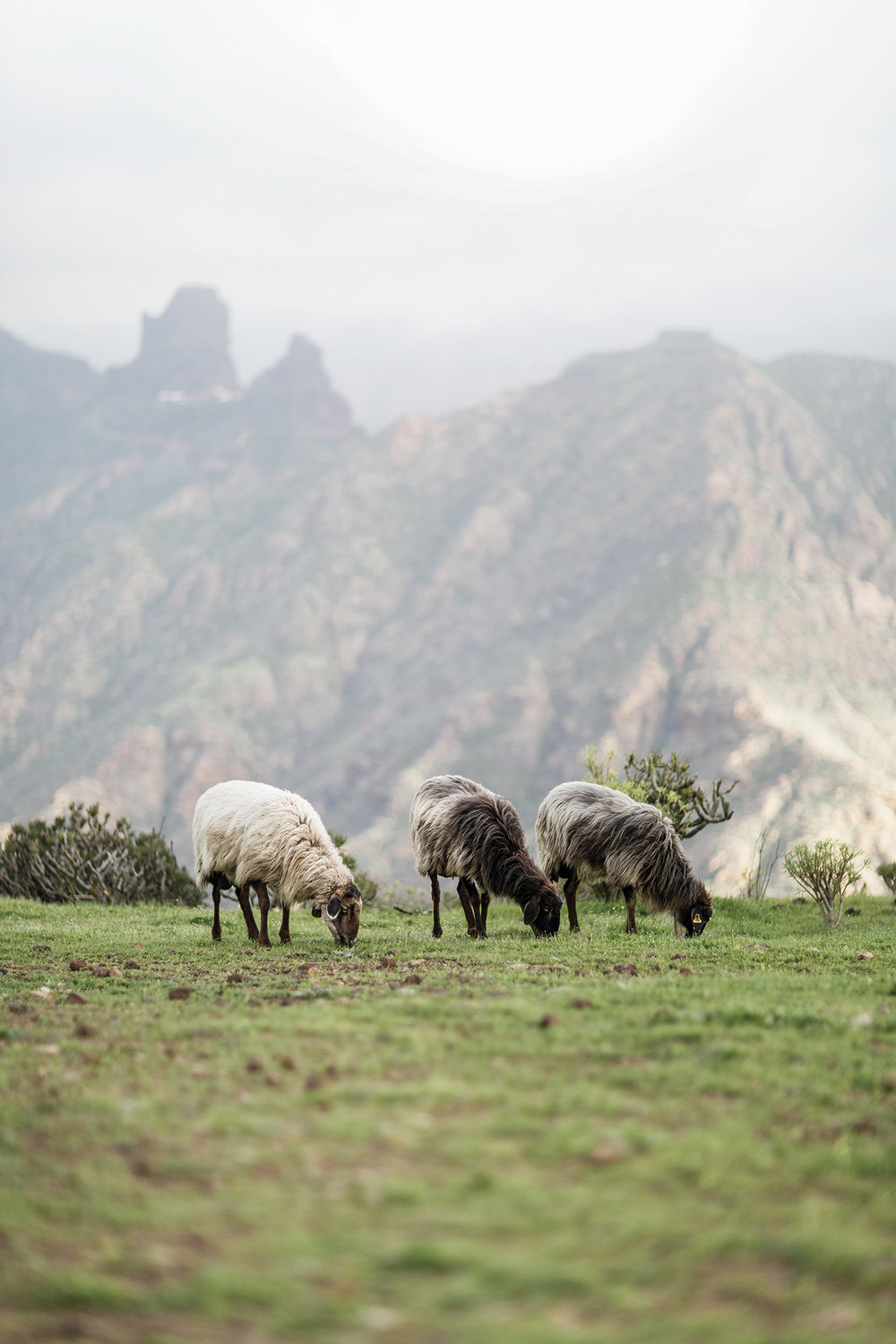 Sheep graze in the Canary Islands by Rebecca Stumpf, Denver Boulder Colorado Editorial and Commercial Photographer.