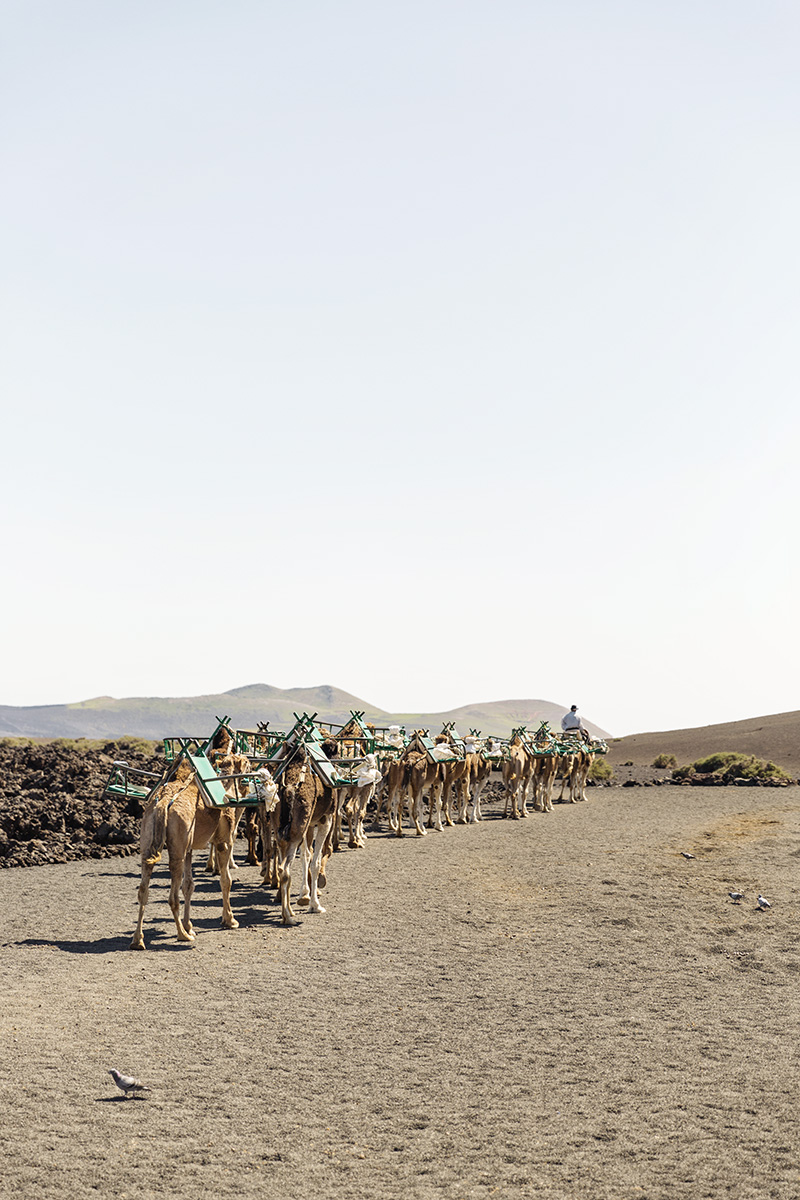 People ride camels at Timanfaya National Park in Lanzarote, Canary Islands by RebeccaStumpf.Food.Travel.Lifestyle.Denver.Boulder.Colorado.Photographer