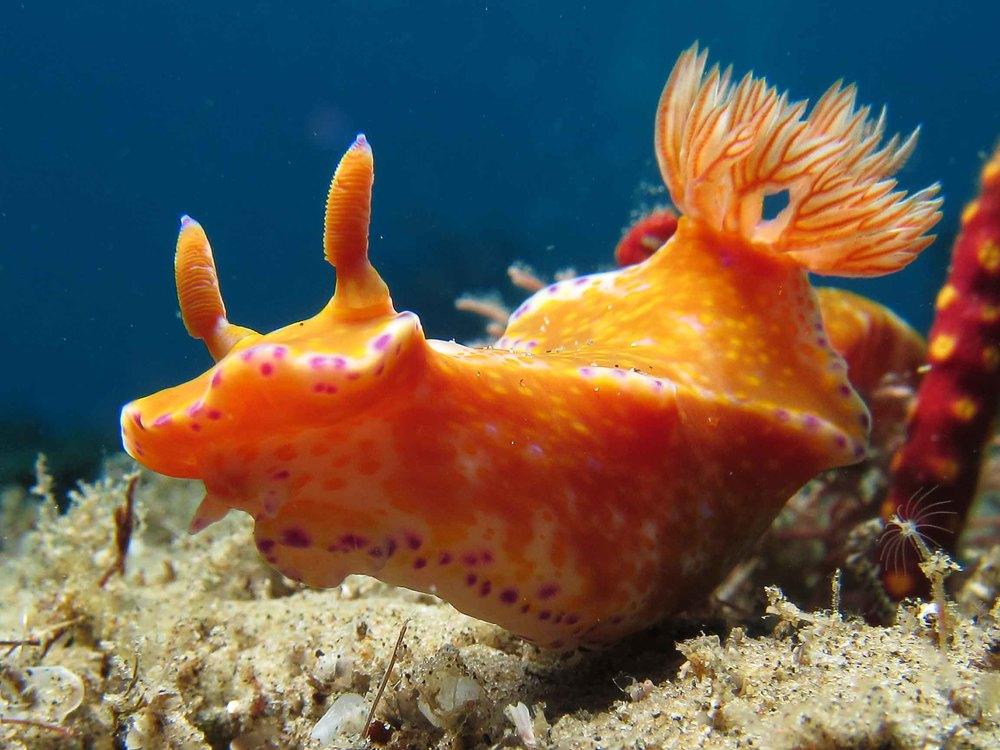 Ceratosoma tenue (3).jpg