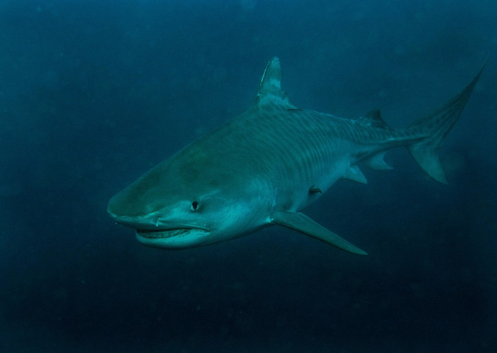 The gallery for --> Ganges River Shark