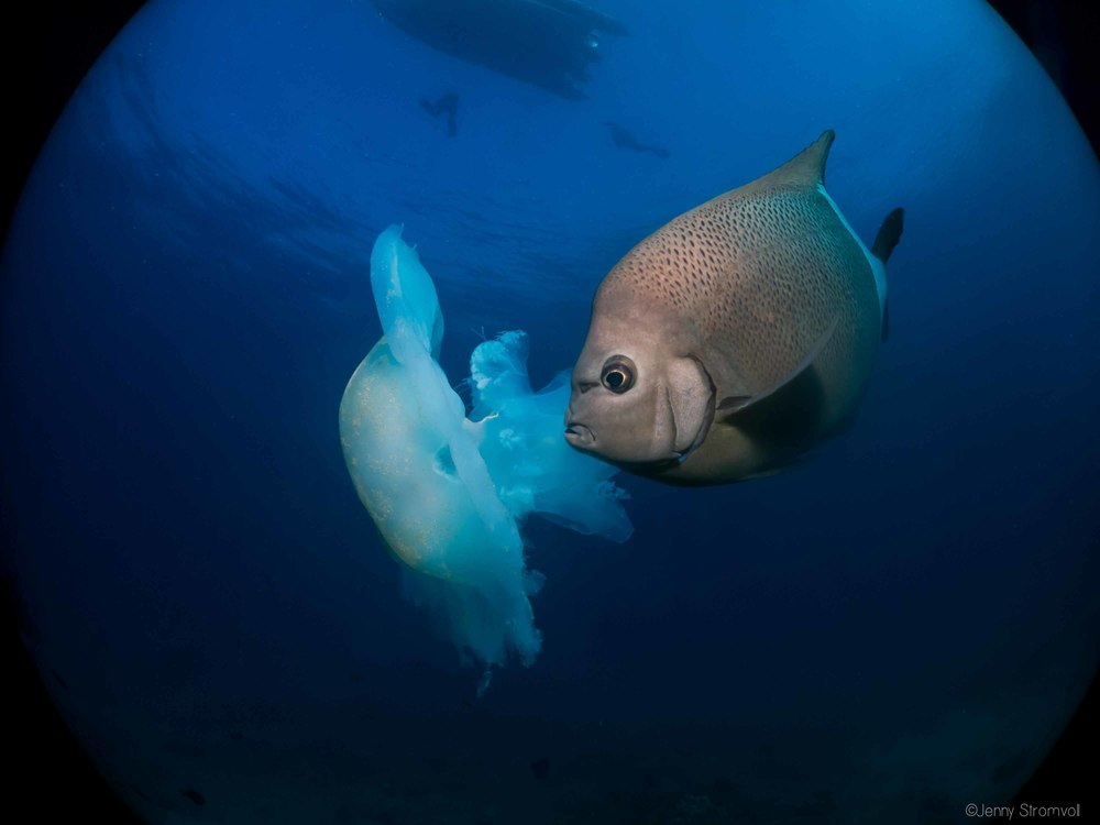 a angelfish makes a meal of a passing jellyfish