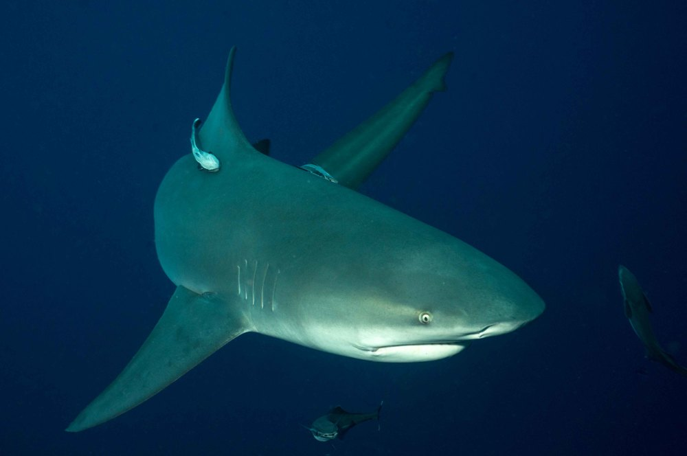 We are famous for being one of the few places in the world where you can observe bull shark in clean open water.