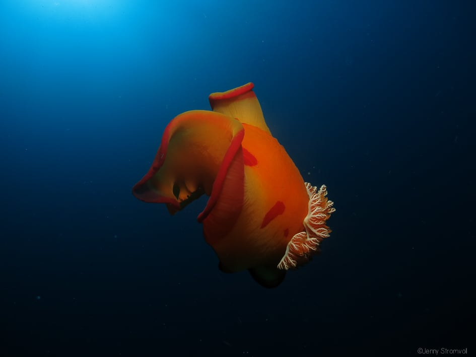 one of the largest nudibranch species, Spanish dancers are named for their practice of taking to the midwater when threatened, waving the edges of their mantles to swim