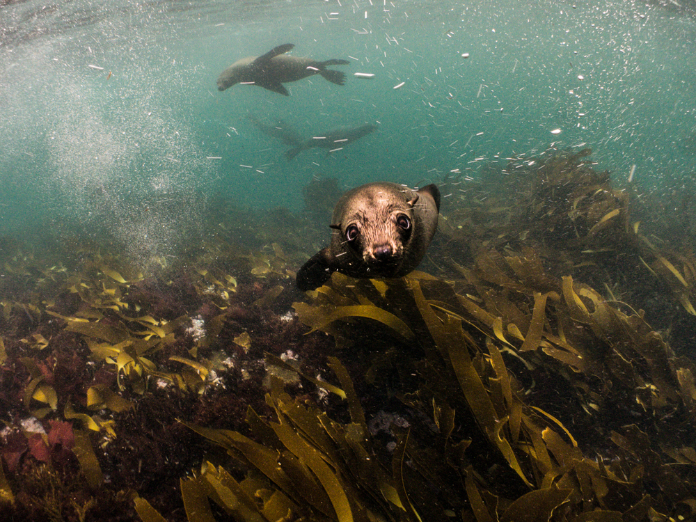 juvenile seals playing around in the kelp forest at Duiker Island