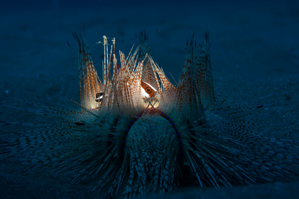 fire urchin with juvenile emperor snapper seeking protection within the spines