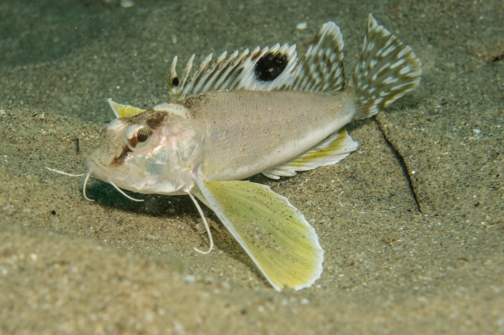 bearded waspfish
