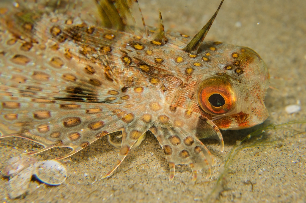 common helmet gurnard