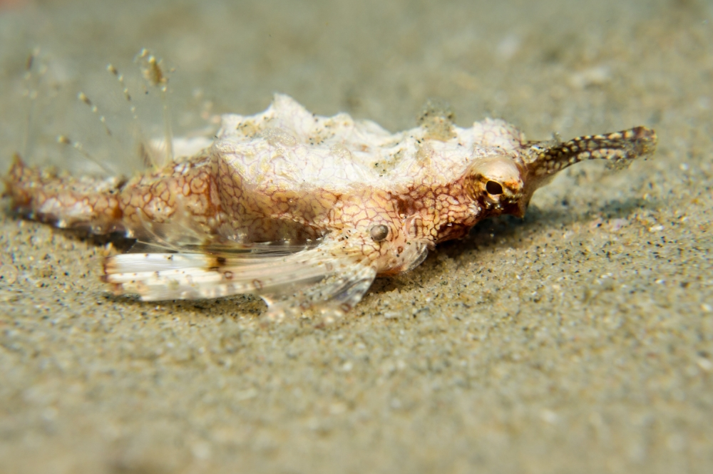 dragon sea moth