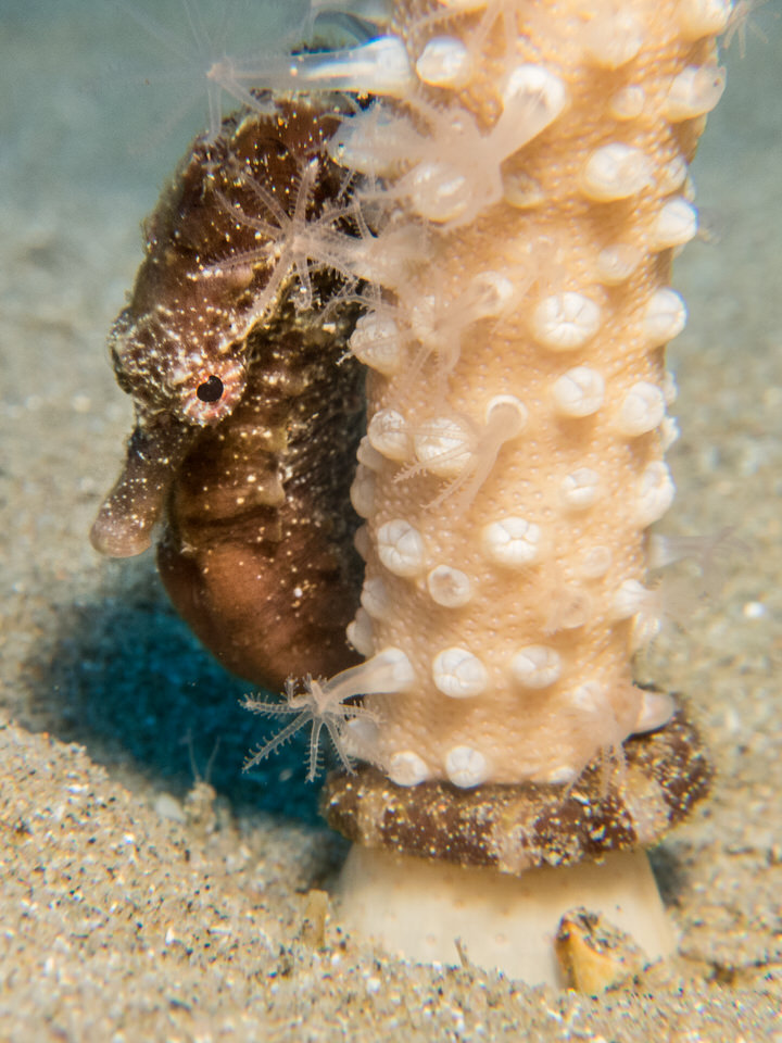 a seahorse secures itself on a sea pen against the current washing through the sea pen field