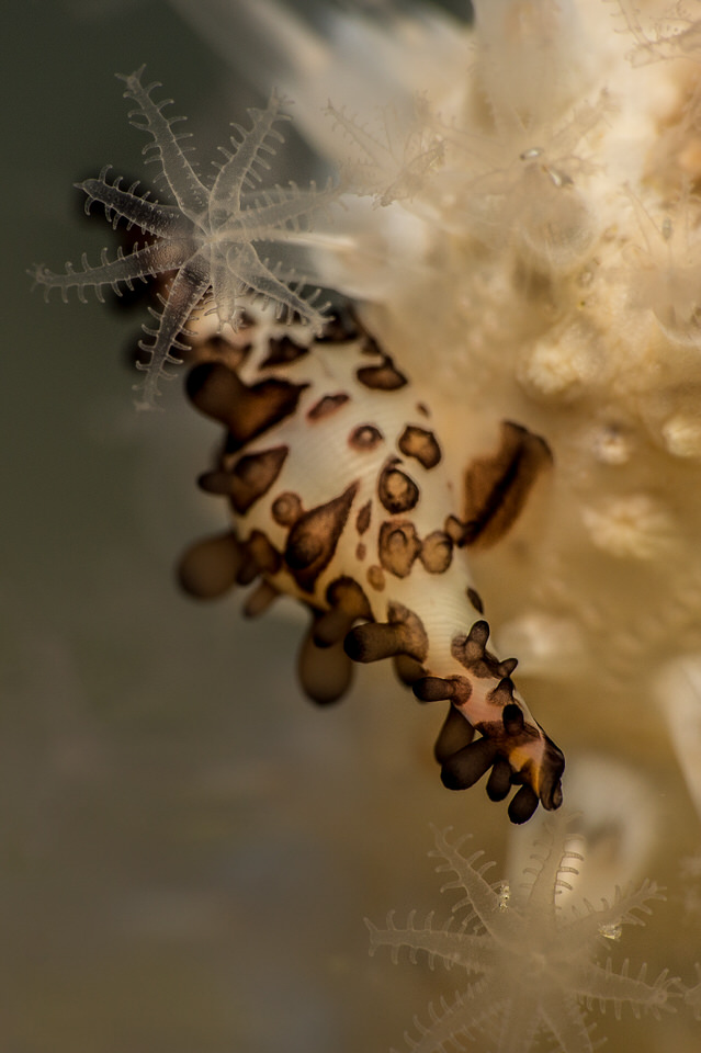 a spindle cowrie
