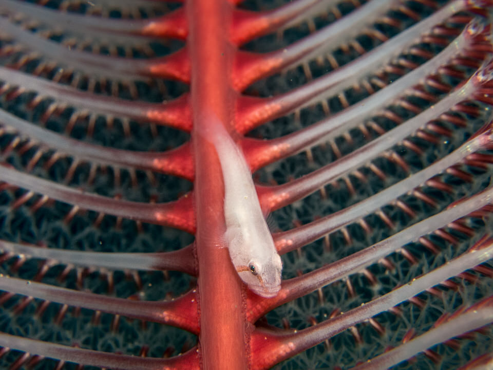 ghost goby on sea pen