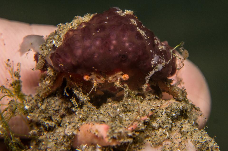 sponge hermit crab