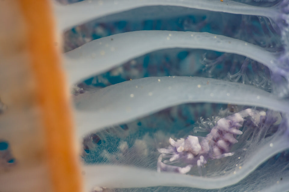 sea pen shrimp