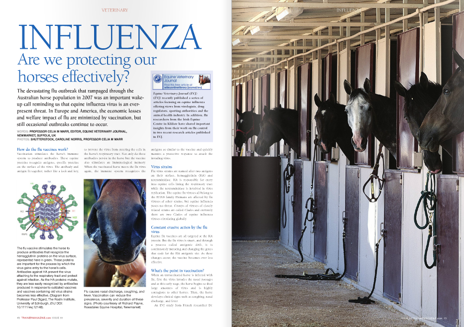 INFLUENZA Are we protecting our horses effectively? VETERINARY The devastating flu outbreak that rampaged through the Australian horse population in 2007 was an important wakeup call reminding us that equine influenza virus is an everpresent threat. In Europe and America, the economic losses and welfare impact of flu are minimized by vaccination, but still occasional outbreaks continue to occur. WORDS: PROFESSOR CElia M MaRR, EDitOR, EquinE VEtERinaRy JOuRnal, nEWMaRkEt, SuFFOlk, uk PHOtOS: SHuttERStOCk, CaROlinE nORRiS, PROFESSOR CElia M MaRR How do the flu vaccines work? Vaccination stimulates the horse's immune system to produce antibodies. These equine proteins recognize antigens, specific proteins on the surface of the virus. The antibody and antigen fit together, rather like a lock and key, 72 TRAINERMAGAZINE.com ISSUE 33 to prevent the virus from entering the cells in the horse's respiratory tract. Not only do these antibodies persist in the horse but the vaccine also stimulates an immunological memory. When the vaccinated horse meets the flu virus again, the immune system recognizes the Equine Veterinary Journal (EVJ) (EVJ) recently published a series of articles focusing on equine influenza offering views from virologists, drug regulators, sporting authorities and the animal health industry. In addition, flu researchers from the Irish Equine Centre in Kildare have shared important insights from their work on flu control in two recent research articles published in EVJ. The flu vaccine stimulates the horse to produce antibodies that recognize the hemagglutinin proteins on the virus surface, represented here in green. These proteins are important for the process by which the virus gains entry to the horse's cells. Antibodies against HA prevent the virus attaching to the respiratory tract and protect against infection. As the HA proteins mutate, they are less easily recognized by antibodies produced in response to outdated vaccines and vaccines containing old virus strains becomes less effective. (Diagram from Professor Paul Digard, The Roslin Institute, University of Edinburgh, EVJ DOI: 10.1111/evj.12148). Flu causes nasal discharge, coughing, and fever. Vaccination can reduce the prevalence, severity and duration of these signs. (Photo courtesey of Richard Payne, Rossdales Equine Hospital, Newmarket) antigens as similar to the vaccine and quickly mounts a protective response to attack the invading virus. Virus strains Flu virus strains are named after two antigens on their surface, hemagglutinin (HA) and neuraminidase. HA is responsible for entry into equine cells lining the respiratory tract while the neuraminidase is involved in virus replication. The equine flu viruses all belong to the H3N8 family. Humans are affected by flu viruses of other strains, but equine influenza poses no threat. Groups of viruses of closely related strains are called Clades and currently there are two Clades of equine influenza viruses circulating globally. Constant evasive action by the flu virus Equine flu vaccines are all targeted at the HA protein. But the flu virus is smart, and through a process called antigenic drift, it is continuously mutating and changing the genes that code for the HA antigenic site. As these changes occur, the vaccine becomes ever less effective. What's the point in vaccination? When an unvaccinated horse is infected with flu, first the virus invades the nasal passages and at this early stage, the horse begins to shed large amounts of virus and is highly contagious to other horses. Then, the horse develops clinical signs such as coughing, nasal discharge, and fever. An EVJ study from French researcher Dr Loïc J. Legrand showed that horses that had been vaccinated had lower incidences of fever and coughing when they did become infected by flu compared to unvaccinated horses in the same outbreak. This highlights a very important point: It is not realistic to expect vaccination to protect every single horse from ever becoming infected. Rather, the goal is that by vaccinating groups of horses, individual and herd immunity is boosted so that when horses do encounter the flu virus, they shed less virus (and thus are less contagious to others), clinical signs are less severe, and equestrian events are not at risk of cancellation due to influenza. Management and environmental factors involved in flu outbreaks As part of a PhD project, Sarah Gildea from the Irish Equine Centre performed a major review of flu outbreaks on 28 premises across Ireland from 2007 to 2010 with the aim of identifying risk factors and improving control strategies. Detailed investigations were conducted on 16 of these premises, and on 15 premises, flu came after the movement of horses. The only farm that did not have recent horse movement was immediately adjacent to another infected property. The key risk factors for spread within premises were: l Housing type: the proportion of horses affected on a property ranged from 50% in horses at pasture, 54% in groups kept in individual stables, and 94% in groups kept in barns. l Teaser stallions: on stud farms, these are individuals that have close nose-to-nose contact with the largest numbers of mares, and therefore, if they do develop flu they are particularly likely to spread it. l Fomites and personnel: Dr. Gildea was able to show that on two premises horses that had no direct contact with others became infected. This suggests that fomites such as stable equipment or even stable staff might play a role in spreading infection. None of these premises had fully-up-to-date vaccination status in 100% of their horses, but in the most well-vaccinated yard 89% of the horses had had recent boosters. Vaccination status, number of years of vaccination, time since last vaccination, and age influenced the clinical signs, with younger horses being more likely to be clinically affected. Gildea's recommendations aimed at stopping spread on a premises are: l Isolation and clinical monitoring of new arrivals and horses returning from equestrian events; l Serological testing of new arrivals and vaccination as appropriate; l Vaccination of horses at six monthly intervals, especially young horses and teasers; l Maintenance of effective boundaries between equine premises; The pattern of clinical signs seen in one Irish training stable affected by flu. The coloured boxes show where the horses developed clinical signs. In white boxes, the horses remained healthy although some either shed virus (denoted by suprascript 1 and 3) or mounted an antibody response to the virus (denoted by suprascript 2 and 3). Although the virus spread throughout the stable, there were clusters. Overall, the vaccination status of this group was high, with over 89% of horses having up to date vaccination records. The first case, which had not been vaccinated for 15 months, is indicated by the turquoise box. Horses that developed signs on Day 3 are indicated by purple boxes, Day 7 red, Day 8 yellow, Day 9 orange, Day 10 pink, Day 11 blue, and Day 19 green. The number in brackets indicates months since previous vaccination; U indicates those with unknown vaccination records. Recent vaccination helped minimize the effects of the virus: two of three horses that had not been vaccinated for more than 12 months showed clinical signs compared to 13 of 49 of those vaccinated within the last seven months. Of the four horses with unknown vaccination history, one showed signs, and two more mounted an immune response. E indicates empty boxes. (Diagram from Gildea et al, EVJ, DOI: 10.1111/j.2042-3306.2010.00333.x l Avoidance of stabling in single air spaces. Recommendations aimed at controlling flu once it is occurs on a premises are: l prompt isolation of suspected cases; l Rapid confirmatory diagnosis by RT-PCR (reverse transcription polymerase chain reaction); l Booster vaccination following early diagnosis; l Implementation of strict biosecurity measures to avoid transmission by fomites, personnel, and contaminated vehicles. How often should horses be vaccinated? The racing authorities in France, the UK, and Ireland introduced mandatory vaccination in the early 1980s. These regulations appear to have been roughly modeled on experience with human vaccines rather than being evidence based. Crucially, these recommendations do not correspond with those of the vaccine manufacturers. Dr. Ann Cullinane, Head of Virology at the Irish Equine Centre, looked at antibody levels in three groups of young horses. Group 1 received their first two doses of their primary course three weeks apart followed by their third dose five months later, i.e. with the minimal intervals permitted by the racing authorities. Group 2 were vaccinated in accordance with the vaccine manufacturer's data sheet and received two doses six weeks apart followed by a third five months later. Group 3 received the first two 13 weeks apart followed by a third seven months later, corresponding with the maximum intervals by the racing authorities. Overall, the horses vaccinated with the maximum vaccination intervals permitted by the racing authorities were less well protected than the horses vaccinated with the minimum vaccination intervals permitted and those vaccinated in accordance with the manufacturer's instructions. However, the racing authorities' recommendations do have the benefit that they allow some flexibility to target vaccination at times of anticipated increased risk (for example before sales or introduction to a training facility). But when such factors are not present, trainers should aim to use the shortest intervals rather than risk pushing out to the maximum allowed limit. Poor responders Thoroughbred weanlings may not produce an adequate antibody level in response to the first dose of vaccine. In a previous study by the same research group, 79% of weanlings responded poorly to their first dose while in this study 50% of weanlings were poor responders. In the past, poor vaccine response has often been attributed to the effects of antibody the weanling acquires in its mother's colostrum blocking the effect of the vaccine. But in this study the highest incidence (76%) of poor responders was actually observed amongst yearlings and a few of the two- and three-yearolds also responded poorly to the first vaccine dose, indicating that the problem was not due to colostral antibody. All the horses responded to the second and third vaccination but the failure to respond to the first dose is of concern particularly for trainers opting for the longer interval between the first and second vaccinations. In the 1989 flu epidemic in the UK poor responders were 15 times more likely to be the index case on a premises than horses with good vaccination responses. Poor responders were also identified as highly susceptible to flu during outbreaks in Irish training stables in 2010 and 2012. The cause of poor responders is unclear, but this result is further evidence against prolonging the interval between vaccine doses Could vaccines be more up-to-date and effective? The flu virus's ability to undergo antigenic drift means strains in flu vaccines go out of date. The World Organisation for Animal Health (OIE) is responsible for recommending suitable vaccine strains for inclusion in commercial vaccines, and its decision-making is informed by ongoing surveillance data provided by numerous centers across the globe. Viruses currently circulating are of the American lineage, Florida Clade 1 and 2. There is one vaccine available within the United States that contains both these strains as recommended by the OIE in 2010. There are currently no equine vaccines available in Europe that contain both Clade 1 and Clade 2 equine influenza strains. Vaccine strain is not the only factor that influences the effectiveness of any specific product. Vaccines with slightly older strain profiles do give some protection as antibodies can cross-react with newer strains and protection is not an 'all or nothing' phenomenon. Compliance with sport regulators' requirements is a powerful motivator to ensure vaccination takes place, but trainers should ensure they question their vets about whether the vaccine used in their horses is of the latest available strain profile. Commercial pressure will help encourage vaccine manufacturers to ensure that they are using the latest strains in their product if they see potential for return on the investment required to update vaccine strains. Human flu vaccines are updated every year, however, in defense of animal health industry, the regulations surrounding introduction of new animal vaccines in European are very arduous and time consuming, so this is not a simple matter. There is a need to streamline the process to enable pharmaceutical companies to bring new equine flu vaccines with updated strains to market more efficiently. An ongoing and collective effort from horse owners, trainers, vets, and the racing authorities to create demand for the best possible vaccines, together with action from the animal health industry and regulators, will ensure that the evidence gleaned from recent research is translated into even more effective protection for our horses. n