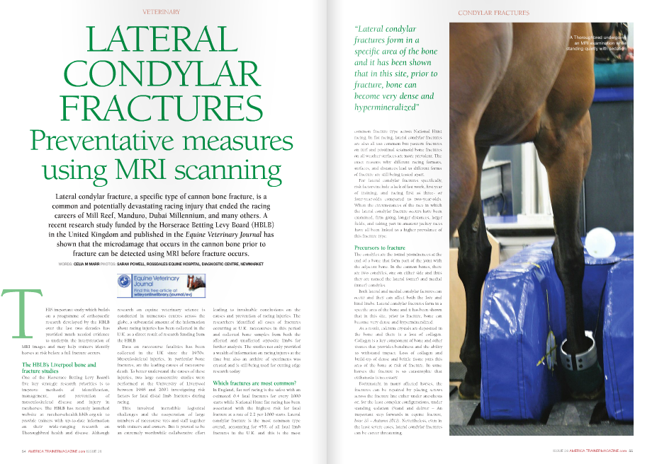 "HIS important study which builds on a programme of orthopaedic research developed by the HBLB over the last two decades has provided much needed evidence to underpin the interpretation of MRI images and may help trainers identify horses at risk before a full fracture occurs. The HBLB's Liverpool bone and fracture studies One of the Horserace Betting Levy Board's five key strategic research priorities is to improve methods of identification, management, and prevention of musculoskeletal disease and injury in racehorses. The HBLB has recently launched website at racehorsehealth.hblb.org.uk to provide trainers with up-to-date information on their wide-ranging research on Thoroughbred health and disease. Although leading to invaluable conclusions on the causes and prevention of racing injuries. The researchers identified all cases of fractures occurring at U.K. racecourses in this period and collected bone samples from both the affected and unaffected opposite limbs for further analysis. The studies not only provided a wealth of information on racing injures at the time but also an archive of specimens was created and is still being used for cutting edge research today. Which fractures are most common? In England, flat turf racing is the safest with an estimated 0.4 fatal fractures for every 1000 starts while National Hunt flat racing has been associated with the highest risk for fatal fracture at a rate of 2.2 per 1000 starts. Lateral condylar fracture is the most common type overall, accounting for 45% of all fatal limb fractures in the U.K. and this is the most Lateral condylar fracture, a specific type of cannon bone fracture, is a common and potentially devastating racing injury that ended the racing careers of Mill Reef, Manduro, Dubai Millennium, and many others. A recent research study funded by the Horserace Betting Levy Board (HBLB) in the United Kingdom and published in the Equine Veterinary Journal has shown that the microdamage that occurs in the cannon bone prior to fracture can be detected using MRI before fracture occurs. WORDS: Celia M MaRR PHOTOS: SaRaH POWell, ROSSDaleS equine HOSPiTal, DiagnOSTiC CenTRe, neWMaRkeT T VETERINARY research on equine veterinary science is conducted in numerous centres across the globe, a substantial amount of the information about racing injuries has been collected in the U.K. as a direct result of research funding from the HBLB. Data on racecourse fatalities has been collected in the UK since the 1970s. Musculoskeletal injuries, in particular bone fractures, are the leading causes of racecourse death. To better understand the causes of these injuries, two large consecutive studies were performed at the University of Liverpool between 1998 and 2003 investigating risk factors for fatal distal limb fractures during racing. This involved incredible logistical challenges and the cooperation of large numbers of racecourse vets and staff together with trainers and owners. But it proved to be an extremely worthwhile collaborative effort common fracture type across National Hunt racing. In flat racing, lateral condylar fractures are also all too common but pastern fractures on turf and proximal sesamoid bone fractures on all weather surfaces are more prevalent. The exact reasons why different racing formats, surfaces, and distances lead to different forms of fracture are still being teased apart. For lateral condylar fractures specifically, risk factors include a lack of fast work, first year of training, and racing first as three- or four-year-olds compared to two-year-olds. When the circumstances of the race in which the lateral condylar fracture occurs have been examined, firm going, longer distances, larger fields, and taking part in amateur jockey races have all been linked to a higher prevalence of this fracture type. Precursors to fracture The condyles are the round prominences at the end of a bone that form part of the joint with the adjacent bone. In the cannon bones, there are two condyles, one on either side and thus they are named the lateral (outer) and medial (inner) condyles. Both lateral and medial condylar factures can occur and they can affect both the fore and hind limbs. Lateral condylar fractures form in a specific area of the bone and it has been shown that in this site, prior to fracture, bone can become very dense and hypermineralized. As a result, calcium crystals are deposited in the bone and there is a loss of collagen. Collagen is a key component of bone and other tissues that provides bendiness and the ability to withstand impact. Loss of collagen and build-up of dense and brittle tissue puts this area of the bone at risk of fracture. In some horses the fracture is so catastrophic that euthanasia is necessary. Fortunately, in many affected horses, the fractures can be repaired by placing screws across the fracture line either under anesthesia or, for the least complex configurations, under standing sedation (Stand and deliver – An important step forwards in equine fracture, Issue 26 – Autumn 2012). Nevertheless, even in the least severe cases, lateral condylar fractures can be career threatening. CONDYLAR FRACTURES A Thoroughbred undergoing an MRI examination while standing quietly with sedation "" Equine MRI MRI, or more correctly magnetic resonance imaging, is an imaging technique with important differences from traditional x-ray. MRI does not use radiation but rather a strong magnet aligned with the body that causes atoms within the body's cells to move subtly, and this change in orientation of the atoms is detected by the scanner and analyzed to create a two-dimensional image as though the body was being cut into slices. From one scan, multiple images are reconstructed to show both the long and short axes of the region under examination and multiple very fine slices are created. In this way, MRI reveals incredible detail of the internal structure of bone and soft tissues. For humans, an MRI study generally involves a session in a claustrophobia-inducing tunnel-shaped machine. This sort of MRI equipment can be used in horses but requires a general anesthetic. The development of open magnets that can be fitted around the lower limbs of a horse has brought MRI technology into the hands of equine veterinarians, and the technique can now be performed very easily in the standing horse, albeit usually with the aid of sedative drugs. MRI and lateral condylar fractures The MRI study on lateral condylar fractures was performed by an international consortium of researchers from U.K. Veterinary Schools in Glasgow and Liverpool, Newmarket's Animal Health Trust, and scientists from Colorado State University. Using archived material collected previously on U.K. racecourses during the HBLB Liverpool Bone and VETERINARY 56 AMERICA.TRAINERMAGAZINE.com ISSUE 28 Fracture study, Dr. Tim Parkin of the University of Glasgow coordinated the research team. The objectives were twofold: firstly the features of bone shape and internal structure in cannon bones from horses that had fractured in a race were compared to normal cannon bones from racehorses that died for other unrelated reasons. Secondly, the researchers sought to determine if there were inherent differences in the affected and unaffected bones, predisposing the bone to fracture, which could be measured in the living horse and used as a marker to 'flag up' any individual horse at being at risk of fracture. The results proved to be extremely important. By comparing normal cannon bones with fractured cannon bones and cannon bones from the horses' uninjured opposite limbs, it was established that areas of super-dense bone were forming in the cannon bones prior to the occurrence of fracture. These areas of microdamage were often triangular in shape and when fractures occurred these typically ran across the triangles of brittle bone. Carolyne Tranquille, author of the recent report in Equine Veterinary Journal, concluded that MRI is able to detect cartilage and bone changes associated with lateral condylar fractures and that the results of the study might in future allow at-risk horses to be identified. There were some important caveats: the bones were examined after death and in some cases had been in storage for some time. The storage process might have enhanced the changes visible with MRI. Also, the study provided a simple snapshot in time and, by its nature, could not demonstrate the pathway of progression of microdamage towards catastrophic fracture. Finally, although the largest of its kind, the study involved only 49 horses with fractures and much more work is needed to fully understand how the cannon bone can become weakened and remodeled and more importantly, how this process can be arrested to reduce the risk of fracture in racehorses. Can this study help racehorses today? Some, but not all, horses that sustain a lateral condylar fracture will have episodes of detectable unsoundness prior to fracture. Tranquille and Parkin's HBLB-funded study shows that in individuals in which lameness can be localized to the fetlock and lower cannon bone region, consideration should be given to adding MRI to the conventional investigations such as fetlock x-rays that are used routinely in equine veterinary practice today. MRI is available at numerous specialist centers and there is no doubt that it has shown great potential for early diagnosis of bone and soft tissue conditions in horses. It is important to note, however, that although lateral condylar fractures are common they are by no means the only form of fracture that racehorses suffer, and for some horses in which incipient fracture is suspected a more comprehensive whole body scintigraphic bone scan (The challenging diagnosis of bone bruising, Issue 19 – February 2011) is more appropriate. n"