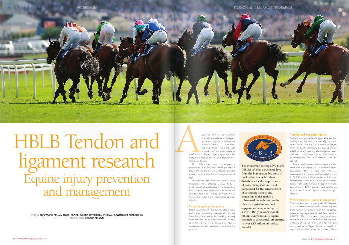 "HBLB Tendon and ligament research Equine injury prevention and management  Around 35% of the veterinary research and education budget is spent on projects to understand musculoskeletal disorders, improve their treatment, and prevent and minimise injury to  racehorses. A slightly larger proportion of the budget is aimed at control and prevention of infectious disease.  The HBLB-funded research is targeted at racehorses but the new developments in treatment and prevention of injuries are often directly applicable to horses and ponies of all types.  Throughout the last 50 years, HBLB researchers have amassed a huge body of work aimed at understanding why tendons lose function, how injuries can be prevented, and the best way to treat and rehabilitate horses that suffer from tendon and ligament injuries.  From the gene to the jockey  HBLB research on musculoskeletal disease and injury prevention extends all the way from the gene to the jockey, looking at every level between. It also encompasses cutting- edge laboratory work through to studies conducted on the racecourse and training grounds.  Tendon and ligament injuries  Trainers can probably all agree that tendon and ligament injuries are extremely common. With HBLB funding, Dr Kristien Verheyen from the Royal Veterinary College set out to establish how frequently these injuries occur and set a benchmark against which future developments and interventions can be judged.  Tendon and ligament injuries represent the most common injury to UK National Hunt racehorses: they account for 46% of racecourse limb injuries and by studying over 1200 UK National Hunt horses and in total monitoring around 9,500 months of training records, Dr Verheyen found that on average, two of every 100 National Hunt racehorses sustain tendon or ligament injuries per month.  Which structure is most injury-prone?  There are two structures of particular interest; 11% of these National Hunt horses injured their suspenory ligaments but 89% sustained injury to the superficial digital flexor tendon (SDFT). This important weight-bearing structure runs down the back of the leg from a muscle above the knee to the pastern. It is composed of collagen fibres arranged in organised bundles rather like a rope. These fibres are embedded in tendon matrix, a complex of molecules that support the strength and elasticity of the tendon. The matrix also surrounds tenocytes, the cells critical to maintaining the health of the tendon. To function effectively, the tendon must not only be stretchy and strong thus able to sustain the massive load generated when the hoof hits the ground at full gallop, but it must also be elastic and able to recoil effectively to flex the limb. All three elements – the fibres, the matrix, and the tendon cells – have been studied by HBLB researchers to better understand how they work together and what happens at the molecular, cellular, and fibre levels that leads to tendon injury.  Why are tendons prone to injury and how can this be prevented? Tendon injury is most likely influenced by both nature (in the form of the horse's genetic makeup) and nurture (in the form of specific factors that it is exposed to during training such as speed, distance, and surface). If we can understand these factors, strategies to reduce the risk may follow and this has been an important underlying principle behind much of HBLB-funded research over the past five decades.  Dr Verheyen found that risk factors for tendon and ligament injury are increasing age, increasing race distance, and specific training facility, but cumulative gallop distance and number of days spent in jump schooling did not affect the odds of injury. Interestingly there was no difference in incidence of tendon and ligament injury in horses that entered National Hunt racing after a career on the flat, compared to those that had been produced specifically for National Hunt.  Looking at exercise diaries for the 30 days prior to injury, Verheyen concluded that increasing accumulated race distance is associated with higher odds of winning a race but also increases odds of tendon and ligament injury. Galloping during training did not affect the odds of sustaining a tendon or ligament injury but did increase the odds of winning prize money.  Good and bad genes?  A very recent study, performed by Dr Lucinda Tully, also from the Royal Veterinary College, has shown that genetic makeup can contribute to the risk of superficial digital flexor tendon injury. Two specific genes were linked to tendon injury: one lowered the odds and the other increased the odds of a horse sustaining a SDFT injury. Much more research is needed to understand the role of these genes and the work also needs to be repeated in a much larger group of horses to confirm the results. Nevertheless this is a first step towards understanding how genetic factors interlinked with environmental factors can affect the likelihood of injury in individual horses.  Repeated microtrauma damages cells, matrix, and fibres Although the tendon injury may become detectable on one specific occasion – often during a races – tendon and ligament injuries are the result of cumulative degeneration with repeated cycles of loading and ongoing microtrauma affecting the fibre structure, the tendon cells, and the tendon matrix. Professor Janet Patterson-Kane at the University of Glasgow focuses on looking at how stiffness of the tendon matrix signals to the tendon cells to produce healthy fibres.  The incidence of SDFT injury increases with age. Professor Peter Clegg of the University of Liverpool has been researching the mechanisms that allow the tendon to extend and recoil rapidly and repeatedly during gallop to determine where within the tendon structure microdamage occurs, to establish how fatigue loading alters cell function, and look at age-related effects. The tendon fibres are organised into bundles called fascicles.  Sliding of these fascicles allows the tendon to extend, and the fascicles' helical structure allows rotation and provides a recoiling spring action. Clegg has shown that as the tendon ages, the amount of rotation and recoil decreases. Repetitive loading damages cells within the tendon and causes matrix proteins to degenerate. Damage occurring between the collagen fibers increases sliding and weakens the tendon fibres, contributing to a more injury-prone structure.  Early diagnosis  Injury to the SDFT is not necessarily associated with lameness except when it is very severe. The key clinical sign is swelling of the back of the forelimb, midway down the cannon bone. More severe injuries will cause swelling all down this area. The old name for tendon injury, the bowed tendon, relates to this classic appearance recognised by horsemen down the centuries.  Ultrasound is used to confirm injury, document its severity, and monitor healing. On an ultrasound image, the normal SDFT is a uniform bright white oval shape in short axis (cross section) and is composed of densely packed linear echoes in long axis, reflecting bundles of fibres.  With acute injury, black holes appear within the tendon, as fibres are torn and the defect fills with blood clots and early inflammatory cells. As the tendon heals, it gradually fills in with brighter, denser tissue, and linear echoes reform.  But if microtrauma precedes full-blown injury, can we identify it and prevent the horse from developing career-limiting injury? Answering that question was the focus of an HBLB-funded project conducted by Dr Charlotte Avella, with guidance from a group of senior tendon researchers based at the University of Cambridge and the Royal Veterinary College. Dr Avella selected 148 horses from ten National Hunt yards and examined them at three-month intervals over two seasons. The overall prevalence of injury was 24%, and a third of these horses had injury in both forelimbs. But Dr Avella was not able to predict which horses would develop injury based on the ultrasound findings. Better ways of predicting injury are needed.  Developing novel and effective treatments for tendon injury SDFT injury is a recurrent problem. Once a tendon has been injured, it is much more likely to happen again because scar tissue forms within the injury site. This scar tissue is weaker than healthy tendon and tends to be damaged again when training resumes.  Regenerative medicine is the ""process of replacing or regenerating human cells, tissues or organs to restore or establish normal function."" Stem cell therapy is an important component of regenerative medicine; stem cells currently in use are undifferentiated or multipurpose cells that have the capacity to change into many of the tissues that make up the mammalian body. They can be found in embryos but also in various adult tissues, such as bone marrow.  In horses, stem cells can be collected from bone marrow, processed in the laboratory, and injected into tendons to allow healthy tissue to regenerate where scar tissue might have otherwise formed. Professor Roger Smith of the Royal Veterinary College has shown that in National Hunt racehorses with SDFT injury, stem cell therapy reduced the re-injury rate to around 26% whereas in previous studies of similar horses treated in more conventional ways, it was 50-55%.  An important limitation in this approach is that very small numbers of stem cells are harvested in this way. Stem cells can also be collected from the umbilical cord at the time of birth, with no harm to the foal. These cells are known as ""embryonic"" cells.  HBLB funding has enabled Dr Debbie Guest of the Animal Health Trust to study embryonic stem cells as an alternative treatment. The benefit is that this would avoid the need to collect the stem cells from the affected horse after the injury, which delays the onset of treatment. Embryonic stem cells could be prepared ready for use as an ""off-the- shelf"" product.  Dr Guest showed that the embryonic cells were able to migrate to other injury sites in the tendon whereas adult stem cells stayed near to the injection site. Embryonic cells were not rejected when injected into horses unrelated to the foal from which they were derived, an important feature if products designed for use in any horse are to be developed.  Pluripotent stem cells – a scientific breakthrough If multipotent cells are useful, pluripotent  might be even better. The term pluripotent defines stem cells that are able to self-renew indefinitely and give risk to virtually all cell types in the body. Best of all would be if pluripotent cells could be generated from easily obtainable adult cells like skin cells. Although researchers have been trying for almost 20 years, until recently this amazing biological feat had only been achieved in human and mouse cells.  In March 2014, with HBLB funding, Dr Xavier Donadeu at the Royal (Dick) School of Veterinary Studies in Edinburgh reported that he had generated equine plurIpotent stem cells from adult horse skin cells. This represents a major scientific breakthrough that not only offers a route to new treatments for tendon injury but also may lead to cures for previously untreatable conditions like motor neuron disease or grass sickness.  Don't forget the jockey!  While much of HBLB's musculoskeletal research focuses on horse molecules, genes, cells, and tissues, the impact of the jockey deserves some attention. The additional mass of a rider increases energetic cost of locomotion, and jockeys potentially improve stability during galloping and reduce the risk of injury.  In collaboration with the British Racing School, Dr Thomas Witte from the Royal Veterinary College is comparing riding styles between experienced and inexperienced jockeys, using force transducers in the stirrups and combined inertial and GPS technology on the jockey. Dr Witte's preliminary work has confirmed that deviations in ""horse-rider harmony,"" or synchronicity of jockey movement relative to the horse, can have a significant impact on performance.  While the underlying concept may not seem novel to trainers, this is the first serious attempt to introduce science to the training of riders. It is only by quantifying jockey- racehorse biomechanical interactions that the effects of interventions can be documented and refined.  The future?  Tendon and ligament injury remains a major challenge for racehorse trainers and vets, but collectively the wide range in HBLB funded research in this area has identified factors that lead to injury; provided an in- depth understanding of the molecular, cellular, and biomechanical events in the tendon; and produced novel approaches to treatment available now and with huge future potential.  The work is not finished – who knows what the next decade of research will take us? Because of HBLB support, scientists in veterinary institutes and universities across the UK lead the field internationally in this important area of research."