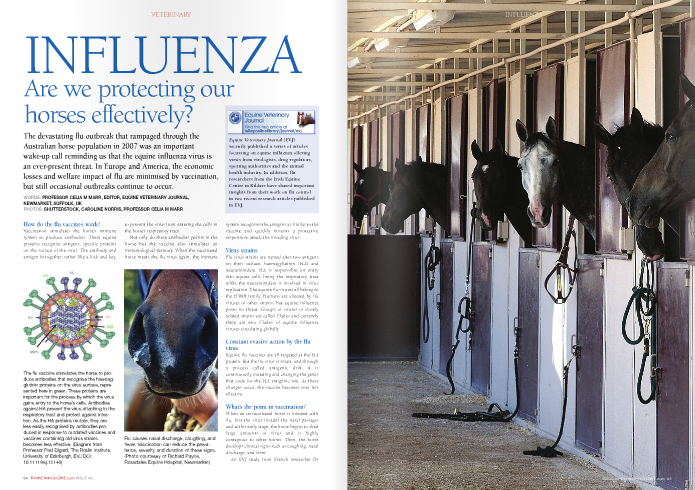 INFLUENZA Are we protecting our  horses effectively?  The devastating flu outbreak that rampaged through the Australian horse population in 2007 was an important wake-up call reminding us that the equine influenza virus is an ever-present threat. In Europe and America, the economic losses and welfare impact of flu are minimised by vaccination, but still occasional outbreaks continue to occur.  How do the flu vaccines work?  Vaccination stimulates the horse's immune system to produce antibodies. These equine proteins recognise antigens, specific proteins on the surface of the virus. The antibody and antigen fit together, rather like a lock and key, to prevent the virus from entering the cells in the horse's respiratory tract.  Not only do these antibodies persist in the horse but the vaccine also stimulates an immunological memory. When the vaccinated horse meets the flu virus again, the immune system recognises the antigens as similar to the vaccine and quickly mounts a protective response to attack the invading virus.   Virus strains   Flu virus strains are named after two antigens on their surface, haemagglutinin (HA) and neuraminidase. HA is responsible for entry into equine cells lining the respiratory tract while the neuraminidase is involved in virus replication. The equine flu viruses all belong to the H3N8 family. Humans are affected by flu viruses of other strains, but equine influenza poses no threat. Groups of viruses of closely related strains are called Clades and currently there are two Clades of equine influenza viruses circulating globally.   Constant evasive action by the flu virus  Equine flu vaccines are all targeted at the HA protein. But the flu virus is smart, and through a process called antigenic drift, it is continuously mutating and changing the genes that code for the HA antigenic site. As these changes occur, the vaccine becomes ever less effective.   What's the point in vaccination?   When an unvaccinated horse is infected with flu, firs