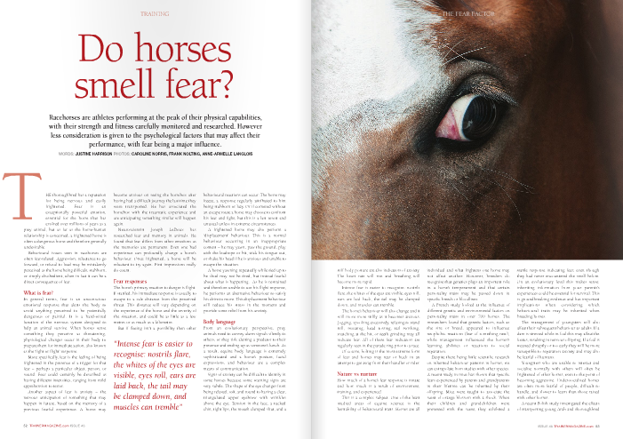 "Do horses smell fear?  Racehorses are athletes performing at the peak of their physical capabilities, with their strength and fitness carefully monitored and researched. However less consideration is given to the psychological factors that may affect their performance, with fear being a major influence.  HE thoroughbred has a reputation for being nervous and easily frightened. Fear is an exceptionally powerful emotion, essential for the horse that has evolved over millions of years as a  prey animal, but as far as the horse-human relationship is concerned, a frightened horse is often a dangerous horse and therefore generally undesirable.  Behavioural issues seen in racehorses are often fear-related. Aggression, reluctance to go forward, or refusal to load may be mistakenly perceived as the horse being difficult, stubborn, or simply disobedient, when in fact it can be a direct consequence of fear.  What is fear?  In general terms, fear is an unconscious emotional response that alerts the body to avoid anything perceived to be potentially dangerous or painful. It is a hard-wired function of the nervous system designed to help an animal survive. When horses sense something they perceive as threatening, physiological changes occur in their body to prepare them for immediate action, also known as the 'fight or flight' response.  More specifically, fear is the feeling of being frightened in the presence of a trigger for that fear – perhaps a particular object, person, or sound. Fear could certainly be described as having different intensities, ranging from mild apprehension to terror.  Another aspect of fear is anxiety – the nervous anticipation of something that may happen in future, based on the memory of a previous fearful experience. A horse may become anxious on seeing the horsebox after having had a difficult journey the last time they were transported. He has associated the horsebox with the traumatic experience and are anticipating something similar will happen again.  Neuroscientist Joseph LeDoux has researched fear and memory in animals. He found that fear differs from other emotions as the memories are permanent. Even one bad experience can profoundly change a horse's behaviour. Once frightened, a horse will be reluctant to try again. First impressions really do count.  Fear responses  The horse's primary reaction to danger is flight. If startled, his immediate response is usually to escape to a safe distance from the perceived threat. This distance will vary depending on the experience of the horse and the severity of the situation, and could be as little as a few metres or as much as a kilometre.  But if fleeing isn't a possibility then other behavioural reactions can occur. The horse may freeze, a response regularly attributed to him being stubborn or lazy. Or if cornered without an escape route a horse may choose to confront his fear and fight, but this is a last resort and unusual unless in extreme circumstances.  A frightened horse may also perform a 'displacement' behaviour. This is a normal behaviour occurring in an inappropriate context – he may yawn, paw the ground, play with the leadrope or bit, stick his tongue out, or shake his head if he is anxious and unable to escape the situation.  A horse yawning repeatedly while tied up to be shod may not be tired, but instead fearful about what is happening. As he is restrained and therefore unable to use his flight response, he performs an alternative behaviour to satisfy his drive to move. This displacement behaviour will reduce his stress in the moment and provide some relief from his anxiety.  Body language  From an evolutionary perspective, prey animals need to convey alarm signals silently to others, or they risk alerting a predator to their presence and ending up as someone's lunch. As a result, equine body language is extremely sophisticated and a horse's posture, facial expressions, and behaviour are a complex means of communication.  Signs of anxiety can be difficult to identify in some horses because some warning signs are very subtle. The shape of the eye changes from being relaxed, soft, and round to having a clear, triangulated upper eyebrow with wrinkles above the eye. Tension in the face, a tucked chin, tight lips, the mouth clamped shut, and a stiff body posture are also indicators of anxiety. The heart rate will rise and breathing will become more rapid.  Intense fear is easier to recognise: nostrils flare, the whites of the eyes are visible, eyes roll, ears are laid back, the tail may be clamped down, and muscles can tremble.  The horse's behaviour will also change and it will move more stiffly as it becomes anxious. Jogging, spooking excessively, refusing to stand still, sweating, head tossing, tail swishing, snatching at the bit, or teeth grinding may all indicate fear. All of these fear indicators are regularly seen in the parade ring prior to a race.  Of course, bolting is the most extreme form of fear and horses may rear or buck in an attempt to get away from their handler or rider.  Nature vs nurture  How much of a horse's fear response is innate and how much is a result of environment, training, and experience?  This is a complex subject. One of the least studied areas of equine science is the heritability of behavioural traits. Horses are all individual and what frightens one horse may not affect another. However, breeders do recognise that genetics plays an important role in a horse's temperament and that certain personality traits may be passed down in specific breeds or bloodlines.  A French study looked at the influence of different genetic and environmental factors on personality traits in over 700 horses. The researchers found that genetic factors, such as the sire or breed, appeared to influence neophobic reactions (fear of something new), while management influenced the horses's learning abilities or reactions to social separation.  Despite there being little scientific research on inherited behaviour patterns in horses, we can extrapolate from studies with other species. A recent study in mice has shown that specific fears experienced by parents and grandparents in their lifetime can be inherited by their offspring. Mice were taught to associate the scent of orange blossom with a shock. When their children and grandchildren were presented with the scent, they exhibited a startle response indicating fear, even though they had never encountered the smell before. On an evolutionary level this makes sense: inheriting information from your parents's experiences could be essential for survival. This is groundbreaking evidence and has important implications when considering which behavioural traits may be inherited when breeding horses.  The management of youngsters will also affect their subsequent behaviour as adults. If a dam is stressed while in foal this may affect the foetus, resulting in nervous offspring. If a foal is weaned abruptly or too early they will be more susceptible to separation anxiety and may also be fearful of humans.  Youngsters who are unable to interact and socialise normally with others will often be frightened of other horses, even to the point of becoming aggressive. Under-socialised horses are often more fearful of people, difficult to handle, and slower to learn than those raised with other horses.  A recent Polish study investigated the effects of transporting young Arab and thoroughbred racehorses to a new environment. Their heart rates were measured during routine tasks including grooming and when at rest, first in their home environment and then again three days after being moved to an unfamiliar training centre. The thoroughbreds all had higher heart rates than the Arab horses in the new environment, but they were also significantly higher when groomed. The researchers suggested young racehorses should not be groomed just prior to training, as this could raise their emotional arousal.  Harsh or coercive training methods will make horses fearful of trainers and their environment. Many horses have an understandable fear of whips, and even the sight of a whip in its environment can dramatically alter a horse's behaviour.  Professor Paul McGreevy and his colleagues at Sydney University in Australia studied the use and misuse of the whip in racing. He states, ""In evolutionary terms, the event closest to a whip strike would surely have been the moment a predator's teeth or claws made contact with the fleeing horse's hide. I believe that today's horses are hard-wired to associate that unpleasant event with pure fear. When running away – the horse's best hope of escape – doesn't get rid of the aversive stimulus, the fear must only deepen and start to approach terror.""   Are horses affected by anxious people?  A number of studies have shown that horses are affected by the emotional state of the people around them. A study looking at 53 different pairings of horses and riders at an international dressage and show jumping competition found that horses can sense when a rider is anxious, and as a result can become anxious themselves. The riders were intentionally made anxious by being told falsely that their horse would be squirted with a water gun while they were riding. Although the horses were never actually squirted with water, the researchers found that the heart rates of both riders and horses were higher than they were when measured in a relaxed situation. Of course the horses in this situation had no reason to be nervous, yet they were clearly affected by the nerves of the rider.  The fallout  It is natural for a horse to experience fear in dangerous situations, but excessive or prolonged fear can lead to a range of problems for the horse and as a consequence for its owner, trainer, jockey, and groom.  A frightened horse can be dangerous in the moment because his focus will be on the feared stimulus, often to the point that he ignores everything else. As a result he may not follow jockey or handler instructions; his previous training can be temporarily forgotten and he will be at risk of injuring himself or anyone nearby.  A fearful horse is a tense horse, so physical performance may be impaired. Learning capacity is also reduced. Attempting to train an anxious horse can be a slow and inefficient process, and the horse may associate the training, environment, and people involved with the fear experienced.  Canadian equine behaviour consultant Lauren Fraser says: ""If you are trying to do something with – or to – your horse that he finds unfamiliar, aversive, unpleasant, or scary  he may indeed try to escape the situation. If a horse is trying to flee a training situation, fight against the trainer, or freezes, it is a good indicator that training is happening too quickly, with too much physical or mental pressure for the horse. If this happens, slow down, back off, and change your approach. Lessons learned in fear are not the ones you want to stick. Compliant horses aren't necessarily confident horses – they are often just doing what they're told, because they've learned that any resistance is futile, painful, or scary.""  Fear wastes energy that could be better utilised in physical performance. In acing conditions, heightened emotional arousal is essential, but this state cannot be maintained for long and could impact on the horse's ability to go the distance.  Fear is a very strong stressor, and repeated or prolonged stress can be extremely detrimental to a horse's health. A number of hormones such as cortisol, the 'stress hormone', are released to help cope with stress. Chronic stress and the subsequent long-term release of cortisol has been implicated in many conditions, including reduced growth and reproductive capability, immunosuppression, laminitis, Cushing's disease, a range of skin conditions, and the increased risk of gastric ulceration and colic.  Managing the fearful horse  Fear can be a major problem with racehorses at home and at the track, but if you recognise the signs early then problems can be prevented from escalating.  Fear can successfully be managed and horses can learn to overcome their fears with training techniques and changes in day-to-day management, although memories of traumatic experiences will not be completely erased. Therefore training should ensure that trauma is avoided.  Most cases can be very successfully resolved by the use of systematic desensitisation and counter-conditioning - behavioural techniques originally developed within human behaviour therapy. These processes work with the body's physiological and psychological responses to reduce fear long term.  At all costs coercing the horse is to be avoided. Punishment is the wrong approach and will only increase the horse's fear. When forced to confront something he finds frightening the horse may become so stressed that it simply gives up. Some trainers promote these techniques thinking they have solved the problem as the horse appears to be relaxed, when in fact the horse's behaviour has been suppressed and the animal has entered a state of 'learned helplessness.' The horse may then go on to develop a conditioned fear of the trainer or training environment, and perform other stress behaviours.  Research has found that environmental nrichment aids the treatment of numerous behavioural problems including excessive fear responses, whereas a lack of mental stimulation may actually increase fear behaviours and impair cognitive development. Having another relaxed, experienced horse present in a difficult situation can also calm a stressed horse significantly.  Horses must be gradually introduced to new experiences and not suddenly confronted with them. They would naturally learn that a novel stimulus is nothing to worry about via 'habituation' - simply getting used to it over time. This is a gradual process and as long as he is not frightened at any stage, the horse learns a stimulus is safe with repeated presentations. If, however, the horse starts to become more fearful of the stimulus, he may have become 'sensitised' - more frightened of the stimulus than on first presentation.  Horses may fail to perform well on race day because of the difference between the training and racecourse environments. Training the horse to habituate to what he will encounter in the race environment is vital. The  ""Punishment is the wrong approach and will only increase the horse's fear. When forced to confront something it finds frightening the horse may become so stressed that it simply gives up""  racecourse itself is an overwhelming environment. Proximity to strange horses and people, crowds, noise, flags, banners, and loudspeakers is a sensory bombardment with which even the most experienced horse may struggle to cope. Fear of this situation could be reduced by preparing the horse to deal with each stimulus systemically in a more relaxed environment. It will be difficult to deal with a fearful horse in the race environment, so preparation must be done at home.  Conclusion  It is normal for a horse to experience fear in dangerous situations. The individual horse's response to fear will depend on his genetic makeup, as well as weaning, management, training, and environment. Excessive or prolonged fear can cause a range of problems in training, handling, health and racing performance, but by taking steps to minimise the fear we can improve their health, reduce safety risks, and potentially produce better racehorses."