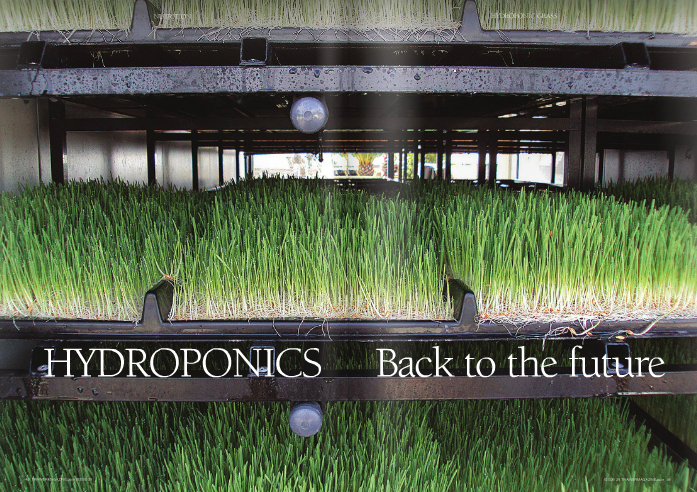 """From seed to feed in 7 days Hydroponic grass involves growing green shoots indoors under climate control with irrigation, without any soil or other growing medium. The development of the cereal """"seed"""" to a feed takes only 6-7 days. The cereal is germinated or sprouted in specially developed trays that are provided with automatically controlled water from overhead sprays, which keeps them moist but not waterlogged and supplies them with the necessary nutrients for growth. The air and water temperature is also strictly controlled within the growing chamber, allowing for optimal growth. Light is provided by a UV source and the growing units can be powered by 240v electricity or alternatively for the environmentally conscious by solar energy. Hydroponic grass can be grown from a variety of cereal grains, the most common being barley or wheat. Oilseeds such as linseed or sunflower as well as lupins can be added to the mix to modify the oil and starch content of the resultant sprouting grass. In some systems, herbs have also been added for their potential benefit. The product offered to the horse consists of the green shoots and then a mat of the intertwined root structure of the grass. In terms of production, 1kg of cereal seed yields approximately 7-10kgs of grass fodder, and one of the larger units can potentially produce 1 tonne of fodder for use per day. As the grass mats are consumed, more trays are inoculated, allowing a constant supply of fodder mats on an ongoing basis. At first glance you may think that horses would just eat the green grass shoots; however, the reality is that they eat the shoots and roots, so the whole growing mat is consumed leaving no waste. Opportunity to reduce starch intake In fussy feeders, """"Dr Green"""" can often be the key to maintaining appetite as the level of work goes up and the pressure is on. It is not really practical to use the hydroponic grass as a total replacement for forage due to its low dry matter and high water content. A ve"""