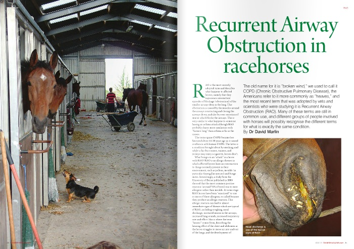 """AO is the most recently adopted term and describes what happens to affected horses, namely that they experience intermittent episodes of blockage (obstruction) of the smaller airways deep in the lung. This obstruction is caused by the muscles around the airways constricting and closing the airways down, and also by over-secretion of mucus which blocks the airways. This is very similar to what happens to someone having an asthma attack although RAO probably shares more similarities with """"farmers lung"""" than asthma as far as the causes.  The term equine COPD became less favoured about 15-20 years ago as it caused confusion with human COPD. The latter is a condition brought about by smoking, and whilst a fair few owners, trainers, and jockeys may enjoy a cigarette, horses don't.  What brings on an """"attack"""" in a horse with RAO? RAO is an allergic disease in which affected horses have an overreaction to things normally present in their environment, such as pollens, moulds (in particular Aspergillus species) and forage mites. Interestingly, a study from the University of Berne published in 2009 showed that the most common positive reaction (around 75% of tests) was to mite allergens rather than moulds. At some stage RAO horses have been """"sensitised"""" to one or more of these allergens, so called because they produce an allergic reaction. This allergic reaction can lead to almost immediate signs of disease which are typical of RAO, including coughing, nasal discharge, increased mucus in the airways, increased lung sounds, increased respiratory rate and effort (this is where the term """"heaves"""" comes from, describing the heaving effort of the chest and abdomen as the horse struggles to move air into and out of the lungs, and the development of  abdominal muscles as a result of the extra effort to breathe – the """"heave"""" line), flared nostrils, and a decreased capacity for exercise. These acute changes are usually also accompanied by changes in the lung that take place over a much """