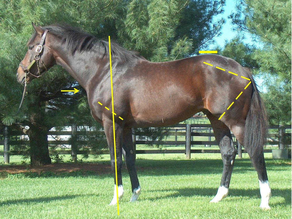 "An Introduction to the Functional Aspects of Conformation   Judy Wardrope     Why is one horse a sprinter and another a stayer? Why is one sibling a star and another a disappointment? Why does one horse stay sound and another does not? Over the course of the next few issues, we will delve into the mechanics of the racehorse to discern the answer to these questions and others. We will be learning by example, and we will be using objective terminology as well as repeatable measures. This knowledge can be applied to the selection of racing prospects, to the consideration of distance or surface preferences and, of course, to mating choices.     Introducing a different way of looking at things requires some forethought. Questions need to be addressed in order to provide educational value for the audience. How does one organize the information, and how does one back up the information? In the case of equine functionality in racing, which horses will provide the best corroborative visuals?     After considerable thought, these three horses were selected: Tiznow (Horse #1) twice won the Breeders' Cup Classic (1¼ miles) ; Lady Eli (Horse #2) won the Juvenile Fillies Turf and was twice second in the Filly and Mare Turf (13/8 miles); while our third example (Horse #3) did not earn enough to pay his way on the track. Let's see if we can explain the commonalities and the differences so that we can apply that knowledge in the future.      Factors for Athleticism      If we consider the horse's hindquarters to be the motor, then we should consider the connection between hindquarters and body to be the horse's transmission. Like in a vehicle, if the motor is strong, but the transmission is weak, the horse will either have to protect the transmission or damage it.  According to Dr. Hilary M. Clayton (BVMS, PhD, MRCVS), the hind limb rotates around the hip joint in the walk and trot and around the lumbosacral joint in the canter and gallop. ""The lumbosacral joint is the only part of the vertebral column between the base of the neck and the tail that allows a significant amount of flexion [rounding] and extension [hollowing] of the back. At all the other vertebral joints, the amount of motion is much smaller. Moving the point of rotation from the hip joint to the lumbosacral joint increases the effective length of the hind limbs and, therefore, increases stride length.""   From a functional perspective, that explains why a canter or gallop is loftier in the forehand than the walk or the trot.     In order to establish an objective measure, I use the lumbosacral (LS) gap, which is located just in front of the high point of the croup. This is where the articulation of the spine changes just in front of the sacrum, and it is where the majority of the up and down motion along the spine occurs. The closer a line drawn from the top point of one hip to the top point of the other hip comes to bisecting this palpable gap, the stronger the horse's transmission. In other words, the stronger the horse's coupling.     We can see that the first two horses have an LS gap (just in front of the high point of the croup as indicated) that is essentially in line with a line drawn from the top of one hip to the top of the opposing hip. This gives them the ability to transfer their power both upward (lifting of the forehand) and forward (allowing for full extension of the forehand and the hindquarters). Horse #3 shows an LS gap considerably rearward of the top of his hip, making him less able to transfer his power and setting him up for a sore back.     You may also notice that all three of these sample horses display an ilium side (point of hip to point of buttock), which is the same length as the femur side (point of buttock to stifle protrusion)—meaning that they produce similar types of power from the rear spring as it coils and releases when in stride. We can examine the variances in these measures in more detail in future articles, when we start to delve into various ranges of motion as well as other factors for soundness or injury.      Factors for Distance Preferences      The hindquarters of Horse #1 and Horse #2 also differ from that of Horse #3 based on the location of the stifle protrusion (not the actual patella, but the visible protrusion that one can watch go through its range of motion as the horse moves). The differences in stifle placement equate with range of motion of the hind leg, stride length and, to some degree, stride rate.     When it comes to the stifle placement for a champion at classic distances, we can see just how far below sheath level Tiznow's stifle protrusion is and we can equate that to Lady Eli's as well, even though she doesn't have a sheath. Horse #3 has a stifle placement that is higher than the other two horses, more in keeping with the placement of a miler (at the bottom of or just below the bottom of the sheath). Sprinters tend to have stifle placement that is above that of milers.     The most efficient racehorses have a range of motion of the forehand that corresponds to the range of motion of the hindquarters. That may seem like stating the obvious, but not all horses have strides that match fore and aft. We have seen those horses that ""climb"" in the front as well as those that seem to ""bounce"" higher in the rump. In both cases, a mismatch of strides is often the cause.     For simplicity, let's say the horse has to generate power from his hindquarters, transfer that power upward and forward through the spine as well as extend his front end at the same stride rate created by the hindquarters for efficiency. He/she has to maintain the same rate in the forequarters and the hindquarters.     One of the things we seldom think about is that horses have to move the front quarters at the same stride rate created by the hindquarters, but they do not necessarily have to be built to have the same stride lengths and turnover rates front and back.     If a horse has to significantly adjust the stride length fore or aft, he/she is likely not going to win in top company, especially racing. And for those horses that can adapt to slight discrepancies, a strong LS placement is paramount.  A car with different sized tires in the front than in the back will travel at a constant speed, but the smaller tires will rotate faster than the larger ones. A horse can't do that, though; he/she has to compensate to bring the front and rear into the same stride rate.     In a person, the length of the thigh has a major impact on stride length. Now imagine that you have one thigh shorter than the other. How will you run? If you don't compensate for the difference, you will either fall down or go in circles. Chances are, if you want to travel straight, you will dwell in the air on the short side in order to balance the stride rates. This is what the mismatched horse does, but it is not typically efficient.     When considering the stride length/turnover rate of the horse's forehand, one must remember that from the top of scapula to knee is all one apparatus. Nothing moves independently. That means that different configurations can have similar results. Conversely, a slight change in humerus length or angle can affect the stride tremendously. For instance, a horse with a short humerus (elbow to point of shoulder) that is considerably angled upward will be much quicker with his turnover rate on the forehand than a horse with the same scapula that has either a longer humerus or one that is not angled as steeply. If a horse has a shorter, quicker range of motion of the forehand, dwelling in the air on the forehand while the hindquarter goes through its range of motion is the most common method of compensation. But, again, a strong coupling is required. Without a strong LS, the horse simply does not attempt to balance its stride in order to maximize range of motion. Such horses just move slower.     If the horse has a shorter stride or quicker turnover rate in front, he'll often climb with his front end in order to equalize the time it takes to go through the range of motion for each rear stride. It's not necessarily a bad thing in a jumper, but it is not such a good thing in a racehorse. Many of us have witnessed a horse that climbs in the front, but we may not have attributed it to a difference in turnover rates or stride lengths.     What if the reverse is true and the horse has a shorter stride and quicker turnover rate behind? If the horse has a slower stride rate or longer stride on the forehand, he may choose to dwell in the air for a fraction of a second with his hindquarters. If that is the case, he is not going to be as smooth to ride. He'll likely pitch the jockey forward and land heavier on his forehand, which is not pleasant and not complimentary to soundness.     Before looking closer at the forequarters for range of motion, it is important to understand that the forehand works as one apparatus—nothing moves independently from top of scapula to point of shoulder to elbow to knee. If the knee rises and comes forward, the forearm follows plus the humerus (elbow to point of shoulder) and the scapula move through corresponding ranges of motion. Likewise, if the top of the scapula rotates rearward, the point of shoulder rises, the elbow comes forward and the forearm is extended and the knee is lifted and moved forward.     Good forelimb movement is characterized by a full range of motion in the swing phase and the stance phase. The latter part of the stance phase is the part of the stride where the horse has rotated his forehand over his front leg and is about to lift that leg from the ground. That is also when the elbow is closest to the ribcage in forward movement. Horses such as #3 have an elbow that could make contact with the ribcage in the latter part of the stance phase (just before the hoof leaves the ground), but they want to avoid that painful collision (almost bone on bone with little padding). How did our sample horse compensate? He built a muscle over his elbow because he has been using it as a brake. He also built muscle on the underside of his neck. Both of these things were meant to lift the hoof off the ground before the elbow struck the ribcage. Again, this does not lead to efficiency of stride.     Length of humerus adds reach, and if that humerus has sufficient rise from elbow to point of shoulder, it does not restrict stride rate. Horses with a short humerus that has a steep rise from elbow to point of shoulder tend to have more knee action than is desired on the track.     Stride length and turnover rate are the two components of speed. Imagine the difference on the clock between two horses of equal stride rate, but one has a longer stride. It may well be the difference between winning and placing out of the money.     In future articles, we will delve into how the variations in length and angle of humerus affect movement plus how tightness of the elbow can impede the rearmost portion of the front stride, thus limiting extension.      Factors for Soundness      Aside from the LS and a few factors in hindquarter construction that we will cover in future articles, one of the best advantages for soundness is lightness of the forehand since speed and weight amplify the forces on a horse's front legs.     As a means of measuring lightness of the forehand, I use several markers. The first is the pillar of support, which is simply a line extended up and down through the naturally occurring groove in the horse's forearm. In general one can see how much horse is out in front of that line, but specifically, the further in front of the withers the line emerges, the lighter the horse's forehand. Additionally, a rise in the humerus adds to lightness, as does a base of neck that is well above the point of shoulder.     All three sample horses share the above traits for lightness. However, where the bottom of the line depicting the pillar of support emerges also plays a role in soundness and longevity. In Horse #1 the line emerges into the rear quarter of his hoof, ideal placement. In Horse #2 it just catches the rear quarter of the hoof, and in Horse #3 it emerges just behind the hoof. Of the three, Horse #3 is at more risk for damage to the suspensory apparatus (bowed tendons and torn ligaments) and is more likely to hit his fetlock on the racing surface. Please keep in mind that where the bottom of the pillar emerges has little to do with length and angle of the pastern. Shocking, but true. More on this in future articles.      Failure or Success      Sometimes it is all in how you analyze the horses and whether you place them where their conformation functions as an asset rather than a detriment. Tiznow proved his championship form at classic distances on dirt. Lady Eli proved her championship form at classic distances on turf. And Horse #3 proved that he was not built to be a successful racehorse."