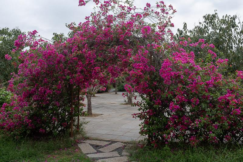 and through the bougainvillea is the debating court