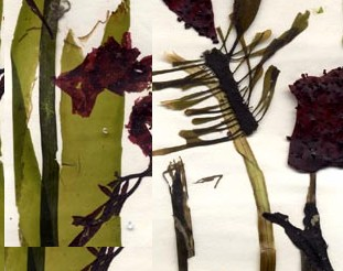 Algal art - various seaweeds composed on paper and then dried under heavy weights for two days.