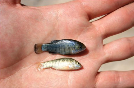 Devils Hole pupfish are about one-inch in length