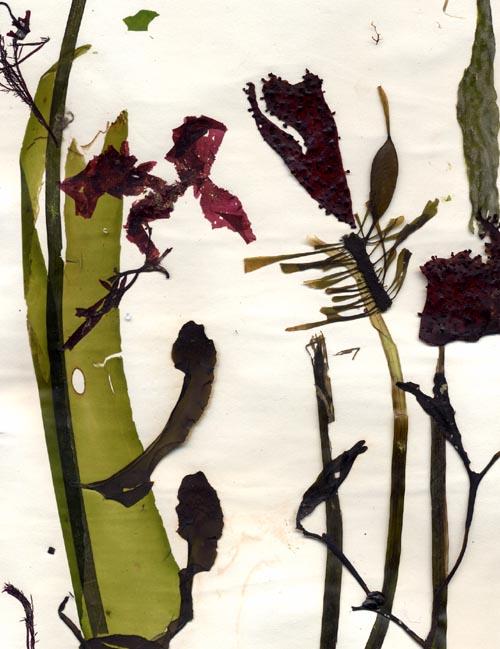 Pressed seaweeds