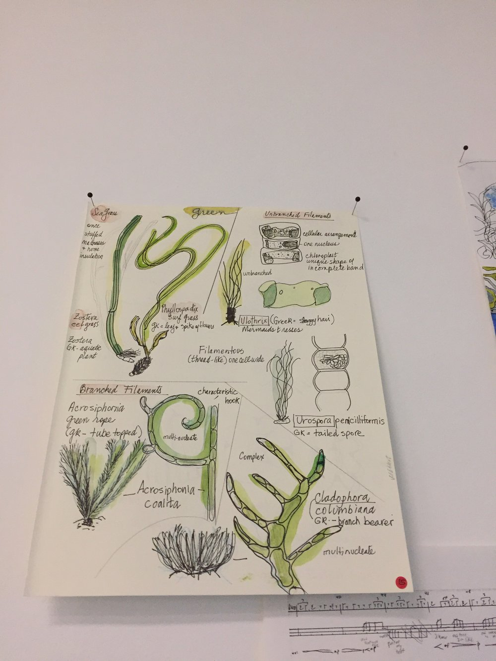 Jill Ehlert - seaweed studies