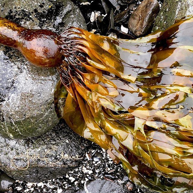 Beautiful kelp seaweed glistening like jewels. #uclueletbc #seaweed #kelpseaweed #ilovethebeach #inspiration #artinspiration #sourceofinspiration #beautifulbc #hellobc #yyjartist