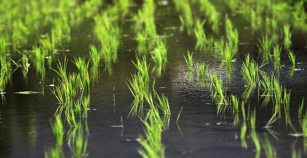 ricecrop.jpg