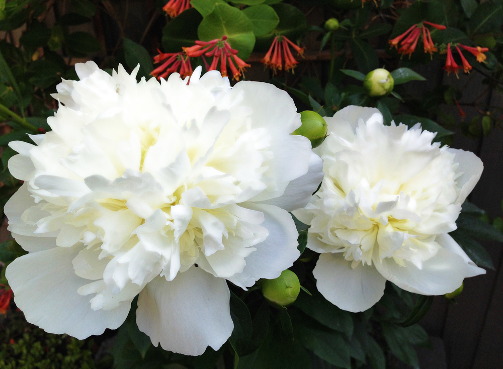 Peony VHS 2015, posted May 30, wk 49