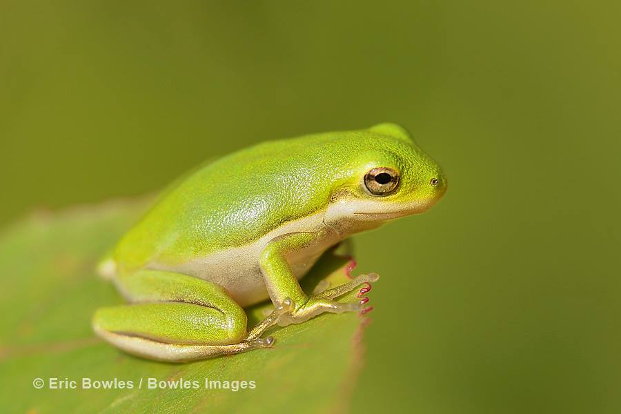 Critters like this green tree frog demonstrate the health of the ecosystem. Thanks to photographer Eric Bowles for sharing him with us.