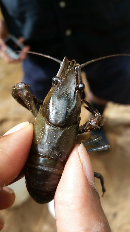 This white tuberculed crayfish seems happy and healthy.