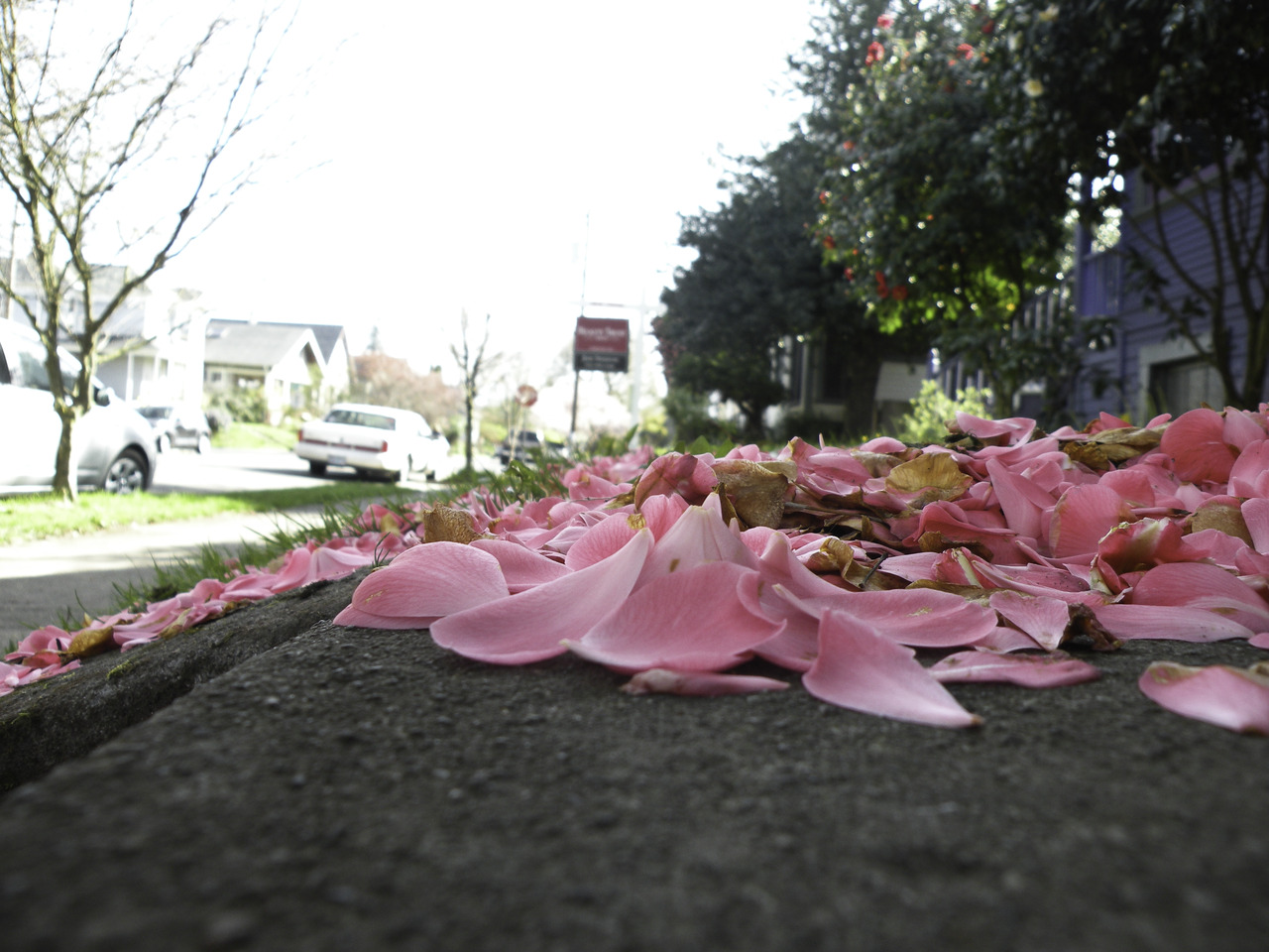 pink petal neighbor's lawn. literally AWE   SOME